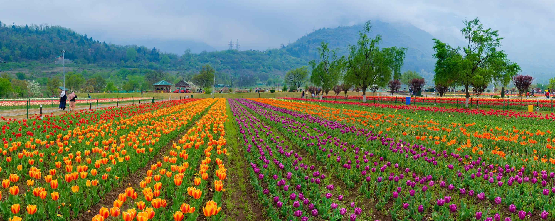 The tulip festival of Kashmir is held in the Indira Gandhi Memorial Tulip Garden. (Shutterstock Photo)