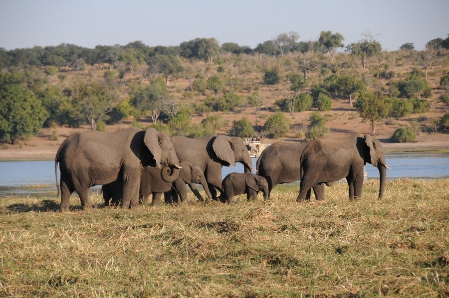 A herd of elephants walks in Maun, Botswana, March 2, 2019. (Reuters Photo)