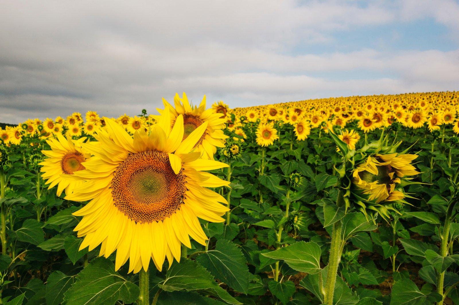 A sunflower field in Tekirdağ, Turkey. (Shutterstock Photo)
