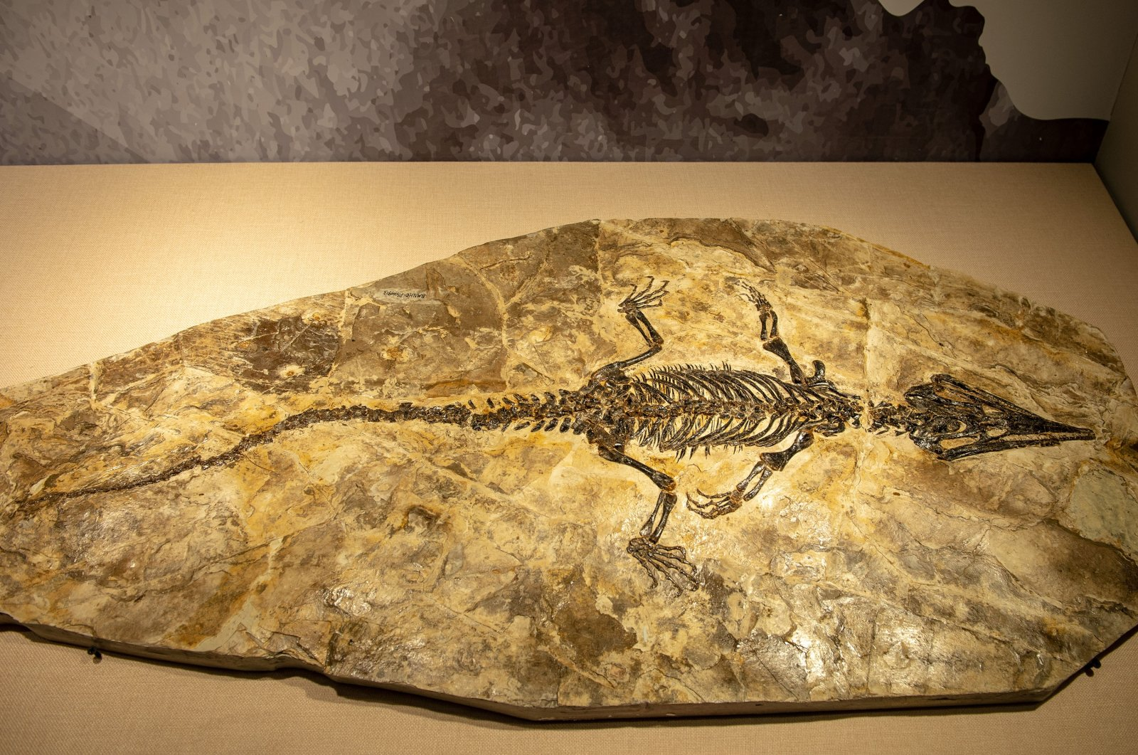 The fossils of Jehol Biota are displayed at the Beijing Natural History Museum in Beijing, Nov 28, 2020. (Getty Images)