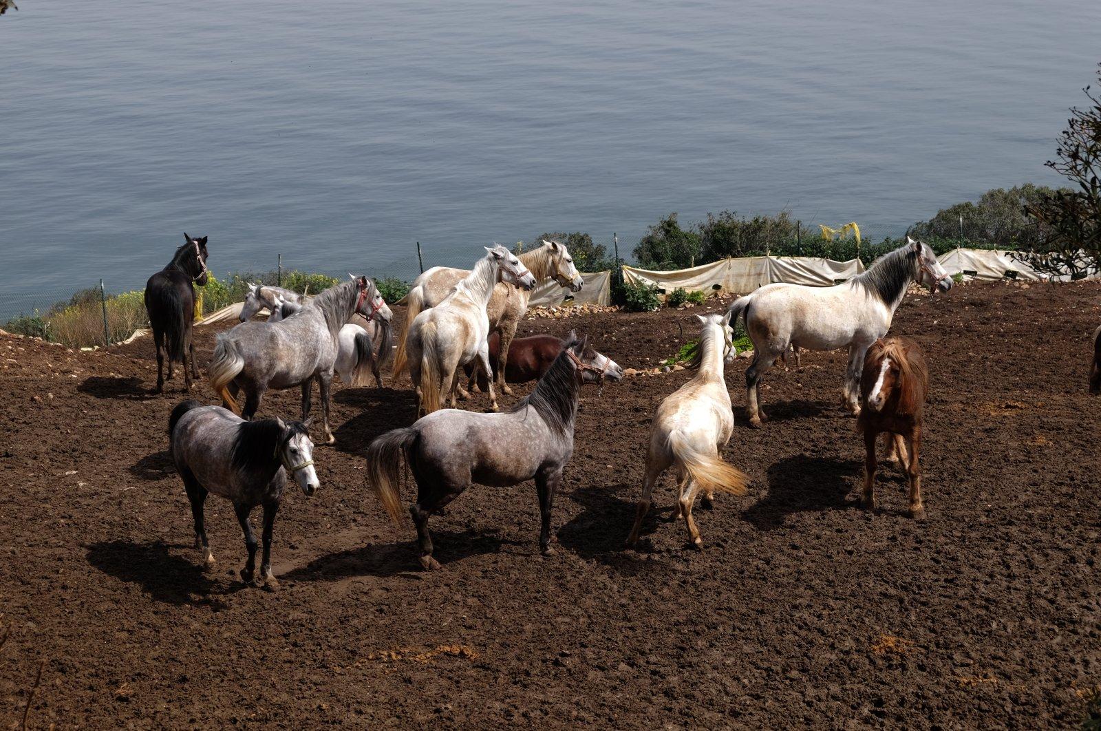 Horses at an Istanbul Metropolitan Municipality (IBB) farm in Büyükada, one of the Princes' Islands, Turkey, on Dec. 18, 2020. (AA Photo)