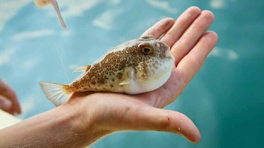 An example of the invasive toadfish that haunts Turkey's Mediterranean Sea, May 4, 2021. (IHA Photo)