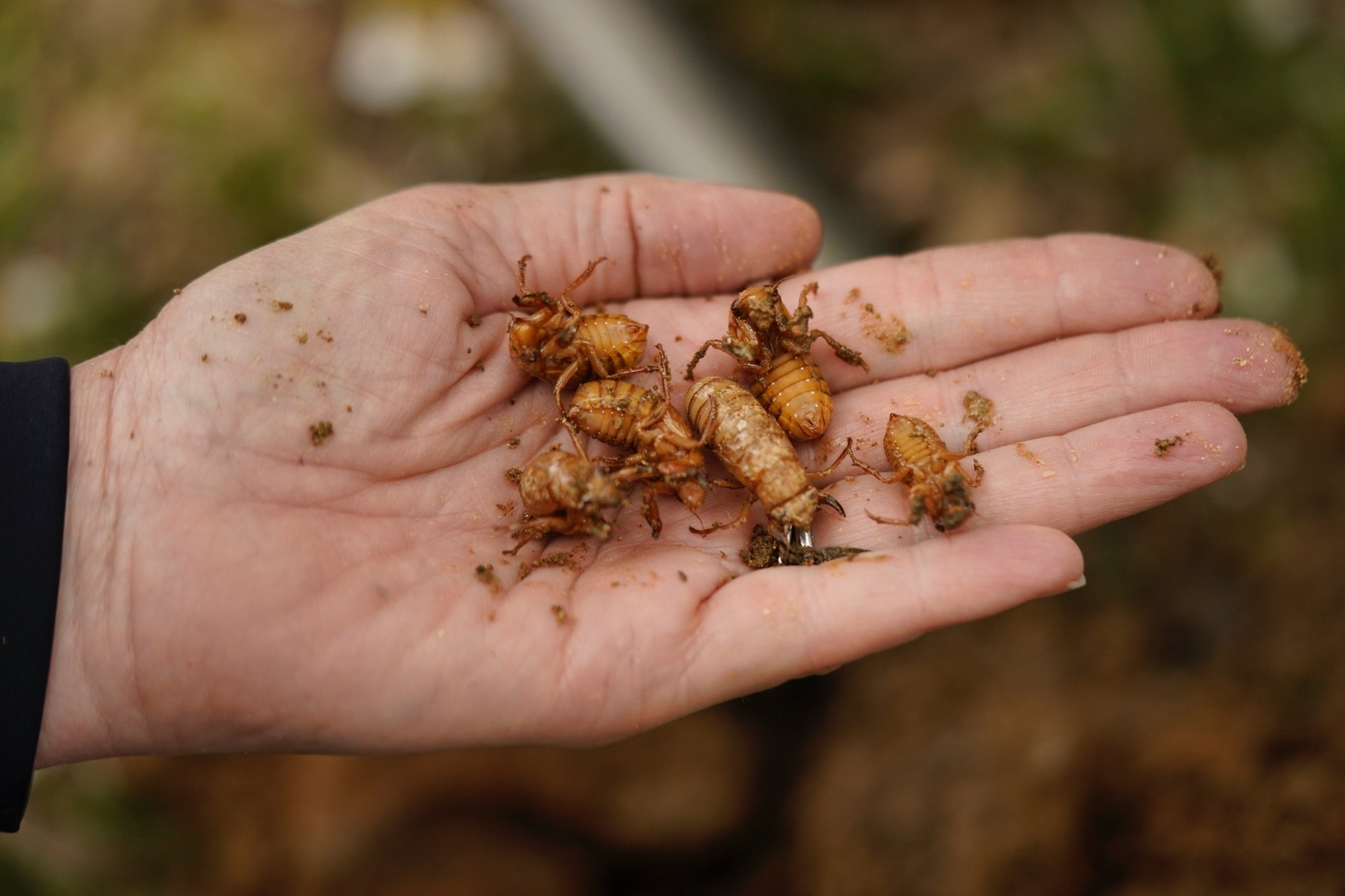 University of Maryland entomologist Paula Shrewsbury displays a handful of cicada nymphs found in a shovel of dirt in a suburban backyard in Columbia, Maryland, U.S., April 13, 2021. (AP Photo)