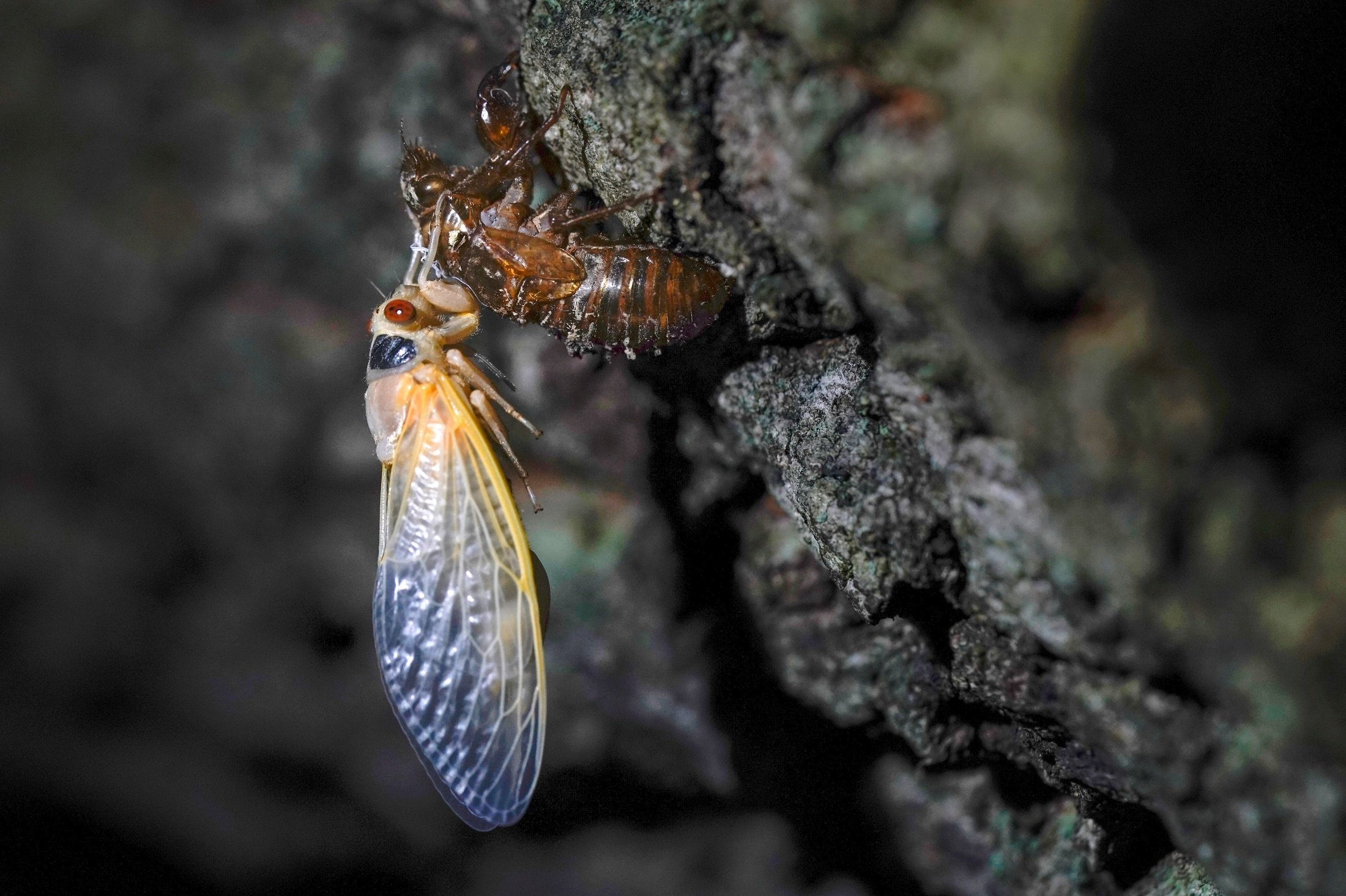 An adult cicada rests after shedding its nymphal skin, on the bark of an an oak tree, on the University of Maryland campus in College Park, Maryland, U.S., May 5, 2021. (AP Photo)