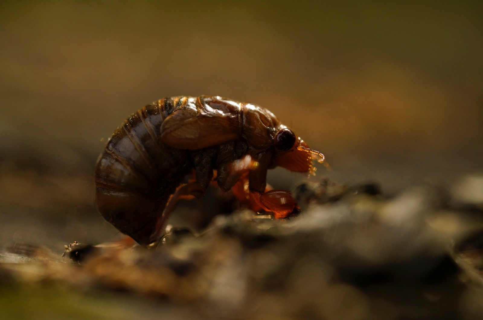 A cicada nymph sits on the ground in Frederick, Maryland, U.S., May 2, 2021. (AP Photo)