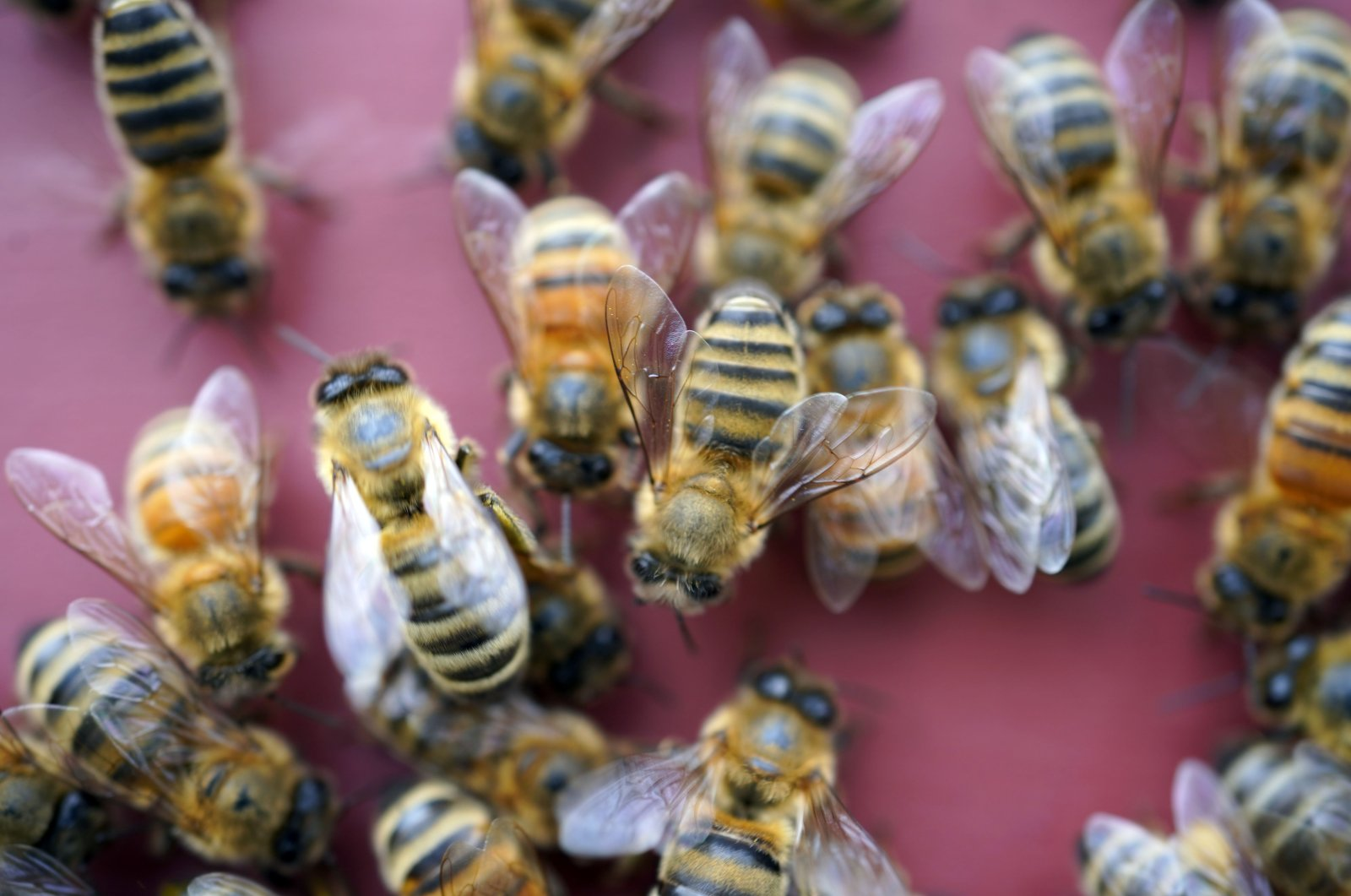 Beekeeper Joe Moncecchi's bees enter a hive as he inspects and cleans his hives at Hancock Shaker Village in Pittsfield, Mass., U.S., April 28, 2021. (AP Photo)