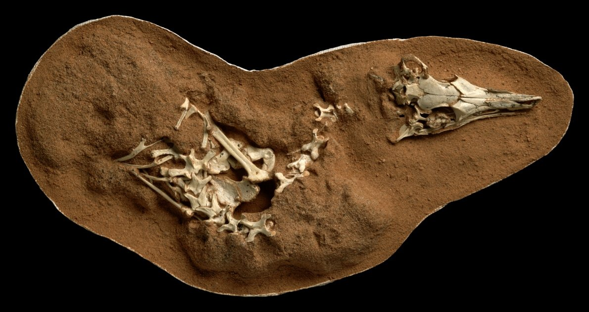 The fossilized skeleton of the small bird-like dinosaur Shuvuuia deserti is seen in this undated handout image. (Reuters Photo)