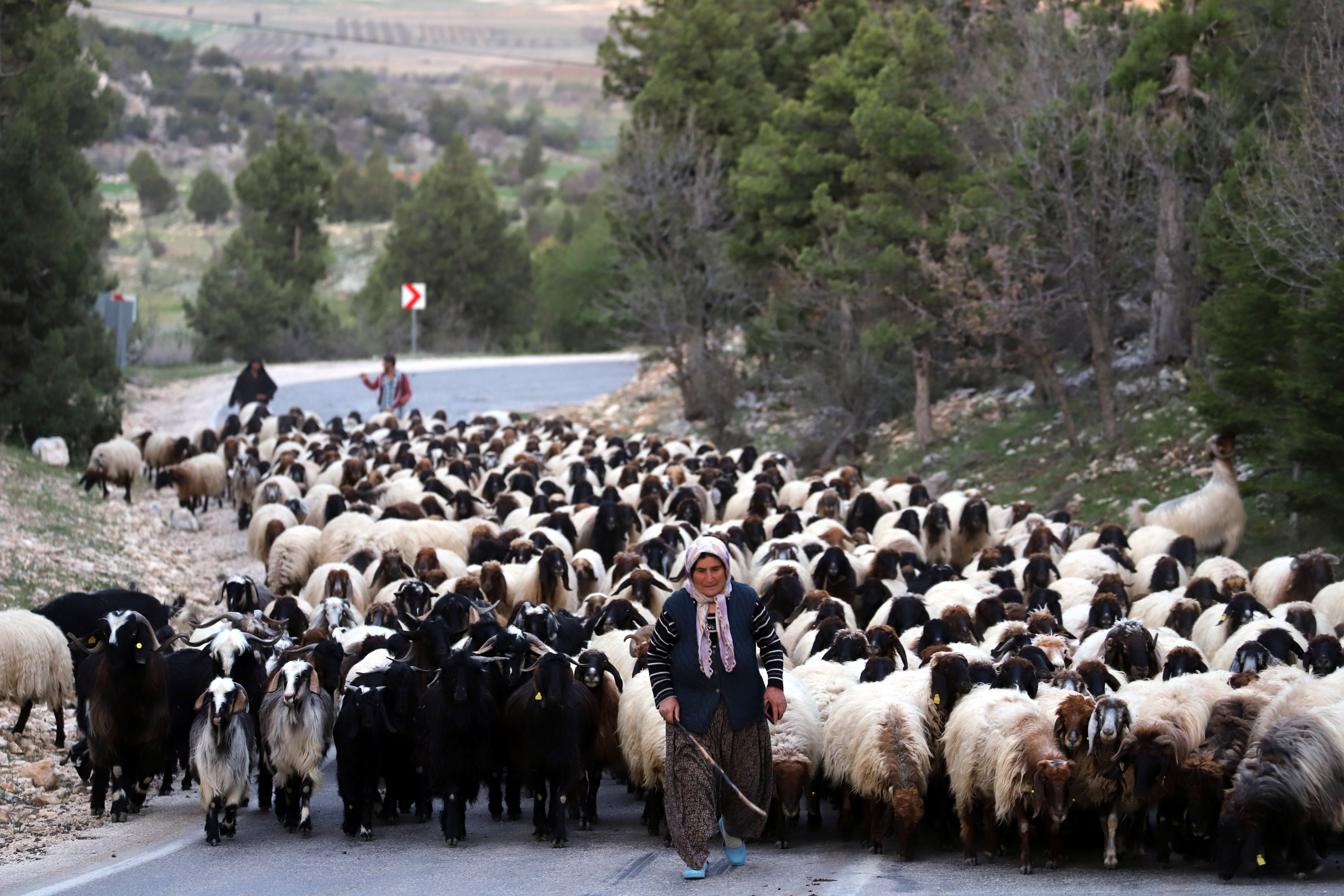 Nomads with their flock are on their way to the cooler highlands in the Konya and Karaman districts to spend the spring and summer months, in Mersin, Turkey, May 4, 2021. (DHA Photo)