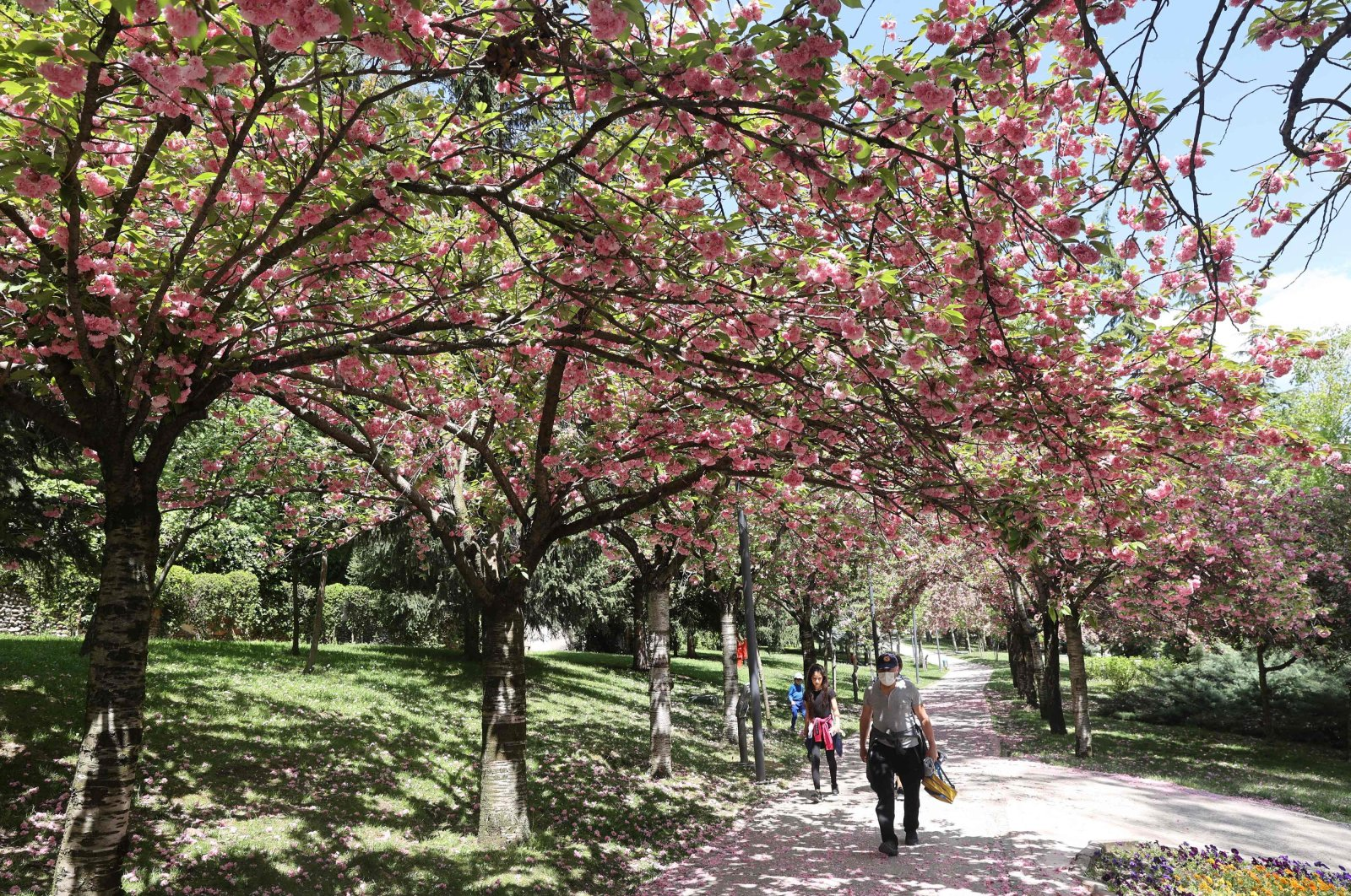 People walk under blooming Asian cherry trees at Dikmen Valley Park in Ankara, Turkey, on May 7, 2021. (AFP Photo)