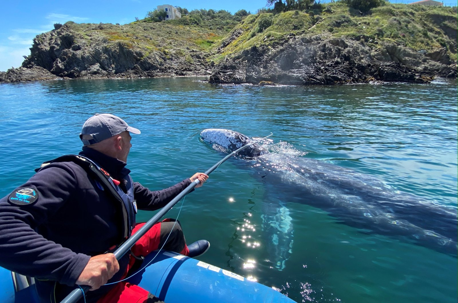 Thierry Auga-Bascou, scientist and member of the French Biodiversity Agency, takes a skin sample of Wally, the 15-month-old gray whale, swimming in the Mediterranean Sea past the coast of Argeles-Sur-Mer, France, May 6, 2021. (Reuters Photo)