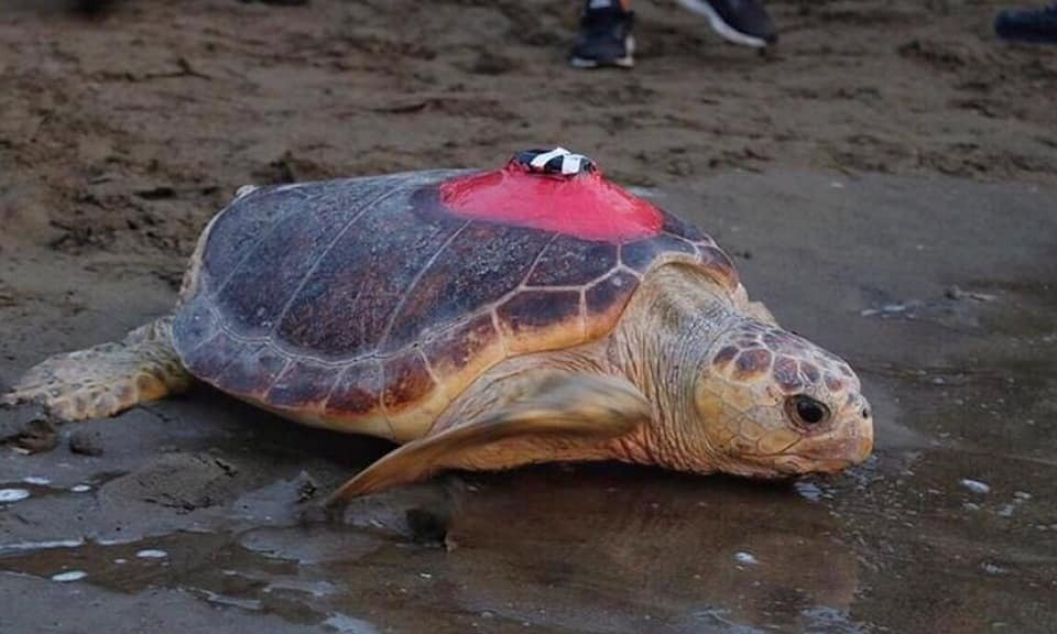 A Caretta caretta named Tuba is released into the sea during a ceremony, in Muğla, Turkey, Aug. 28, 2019. (Courtesy of DEKAMER)