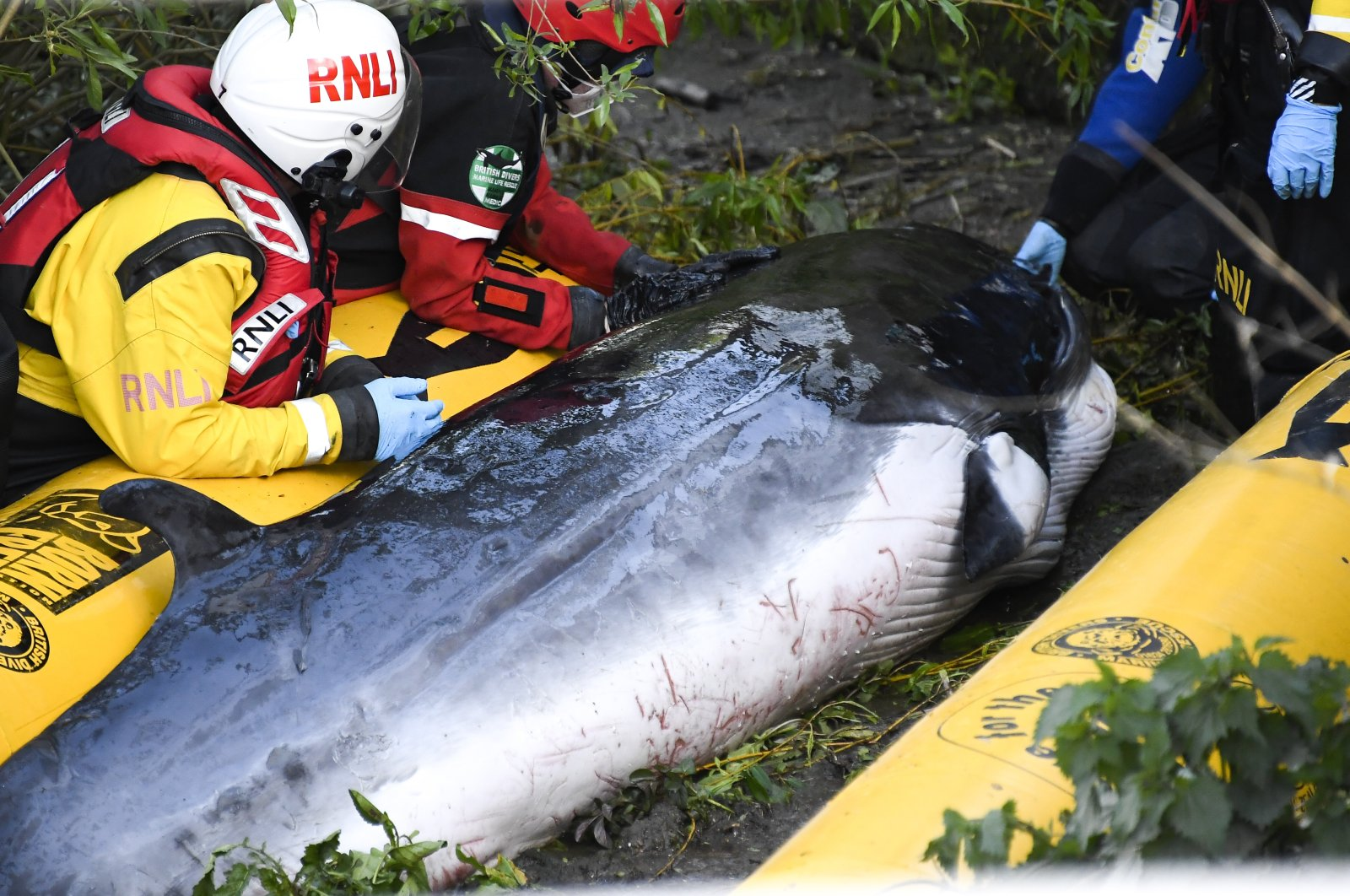 Lifeboat workers attempt to assist a stranded young Minke whale on the River Thames near Teddington Lock, in London, U.K., May 10, 2021. (AP Photo)