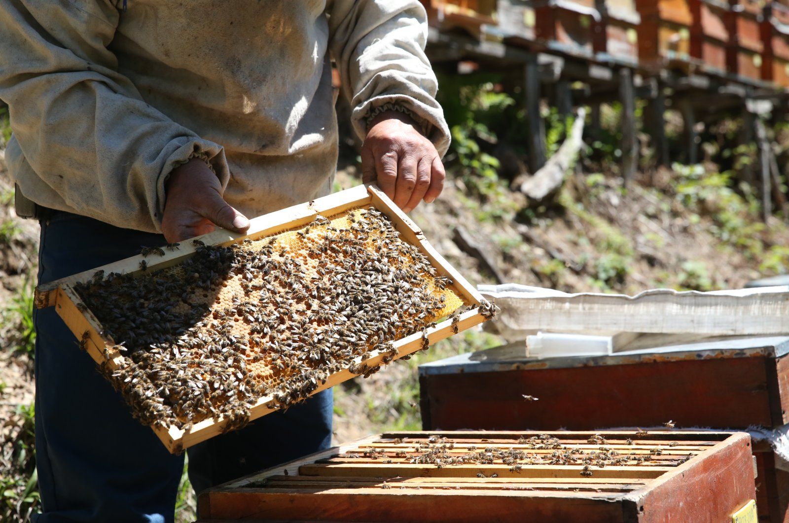 A beekeeper shows a honeycomb covered in honeybees, in Giresun, Turkey, May 17, 2021. (AA Photo)
