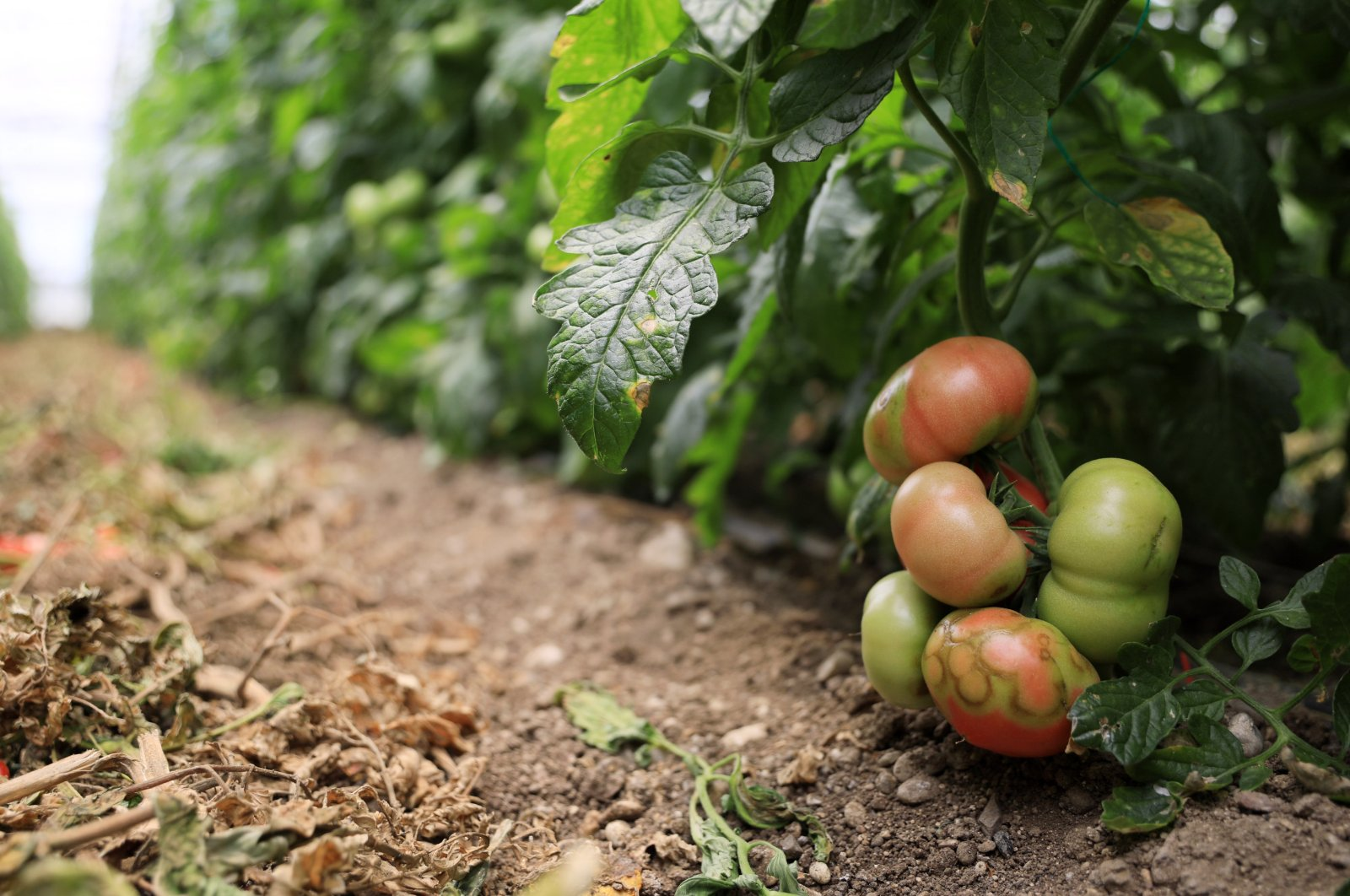 """Tomatoes affected by the """"Israeli virus"""" are seen in a greenhouse in Antalya, Turkey, May 18, 2021. (DHA Photo)"""