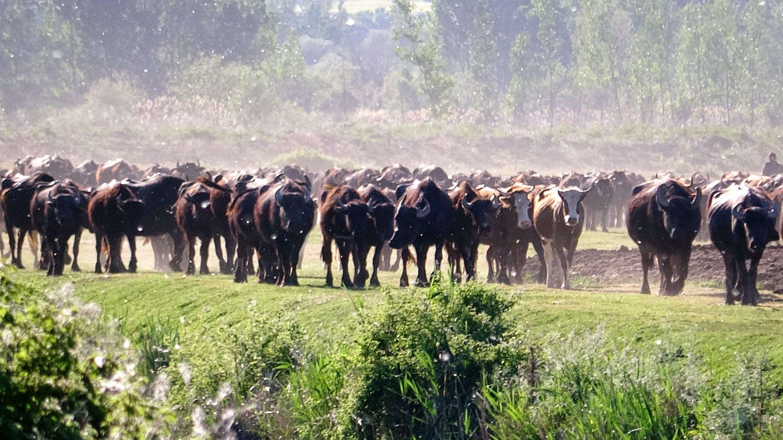 Buffalos graze in Çiftlik village in Pazar district of Tokat, northern Turkey, on May 20, 2021. (IHA Photo)