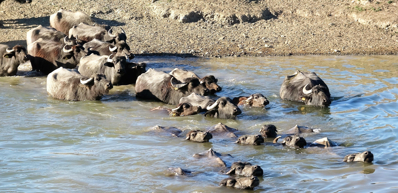 Buffalos wade through the water in Çiftlik village in Pazar district of Tokat, northern Turkey, May 20, 2021. (IHA Photo)