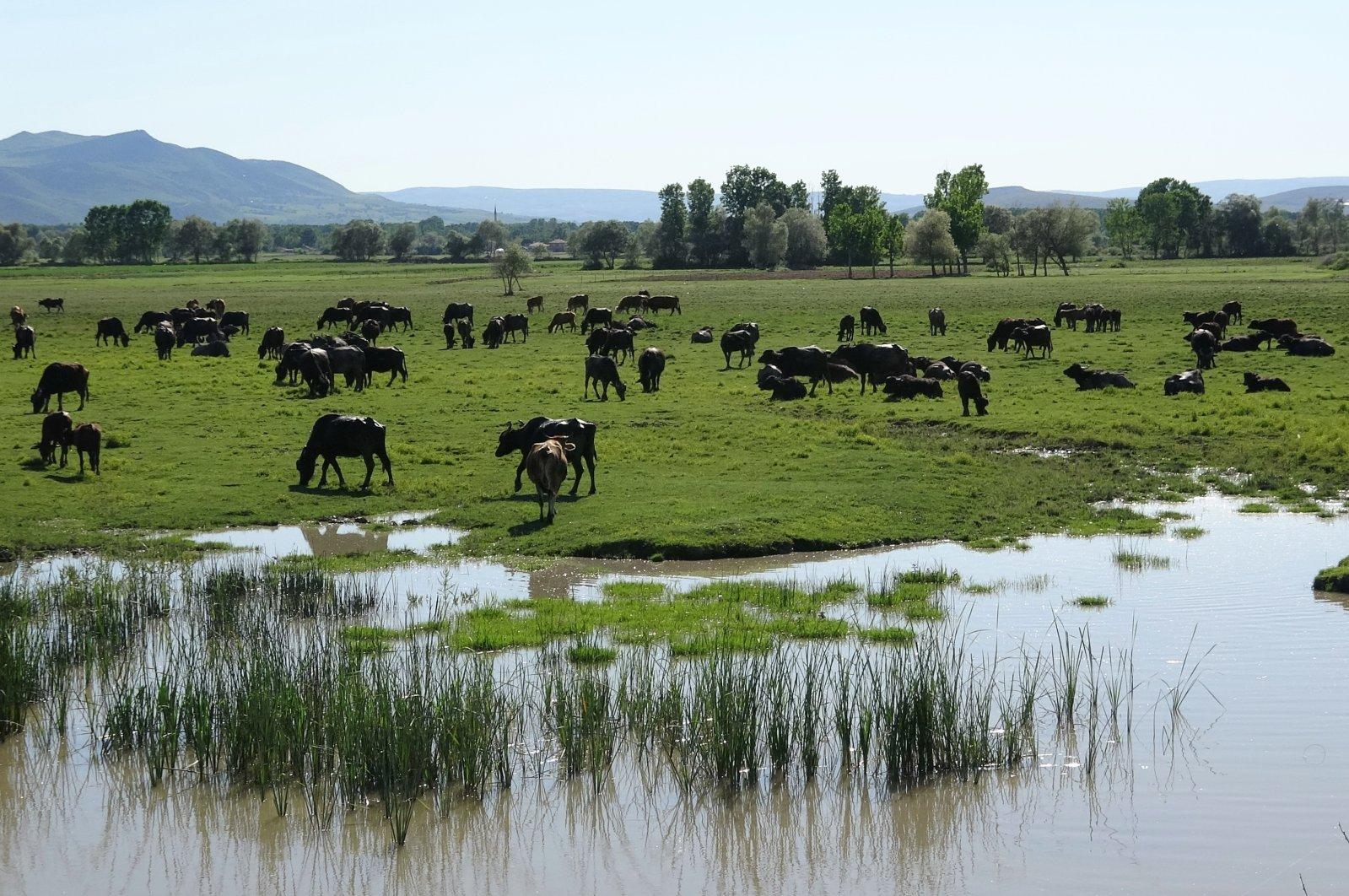 Buffalos graze in Çiftlik village in Pazar district of Tokat, northern Turkey, May 20, 2021. (IHA Photo)