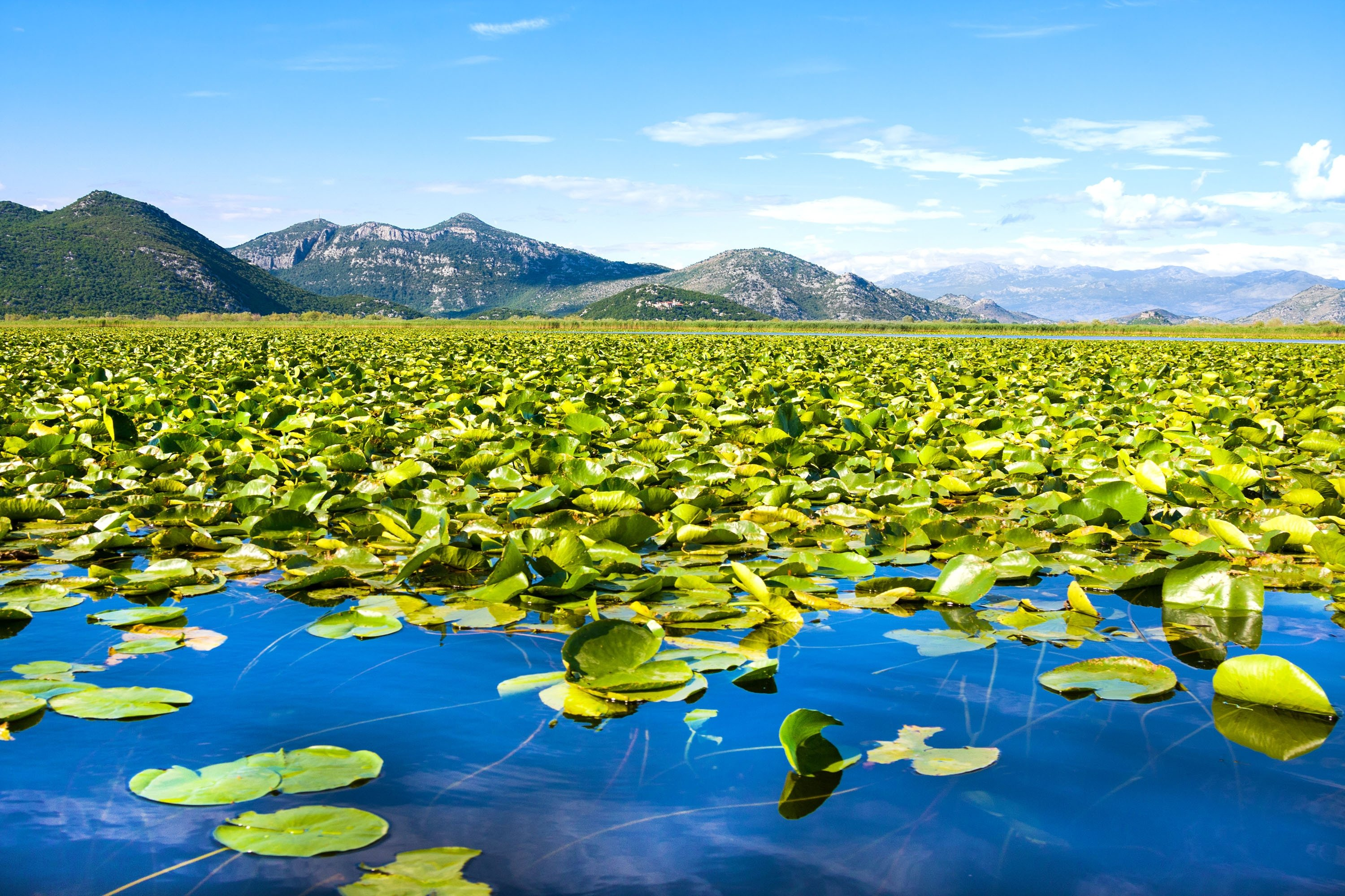 With mountains in the background, greenery floats on the waters of Lake Skadar, Montenegro. (Shutterstock Photo)