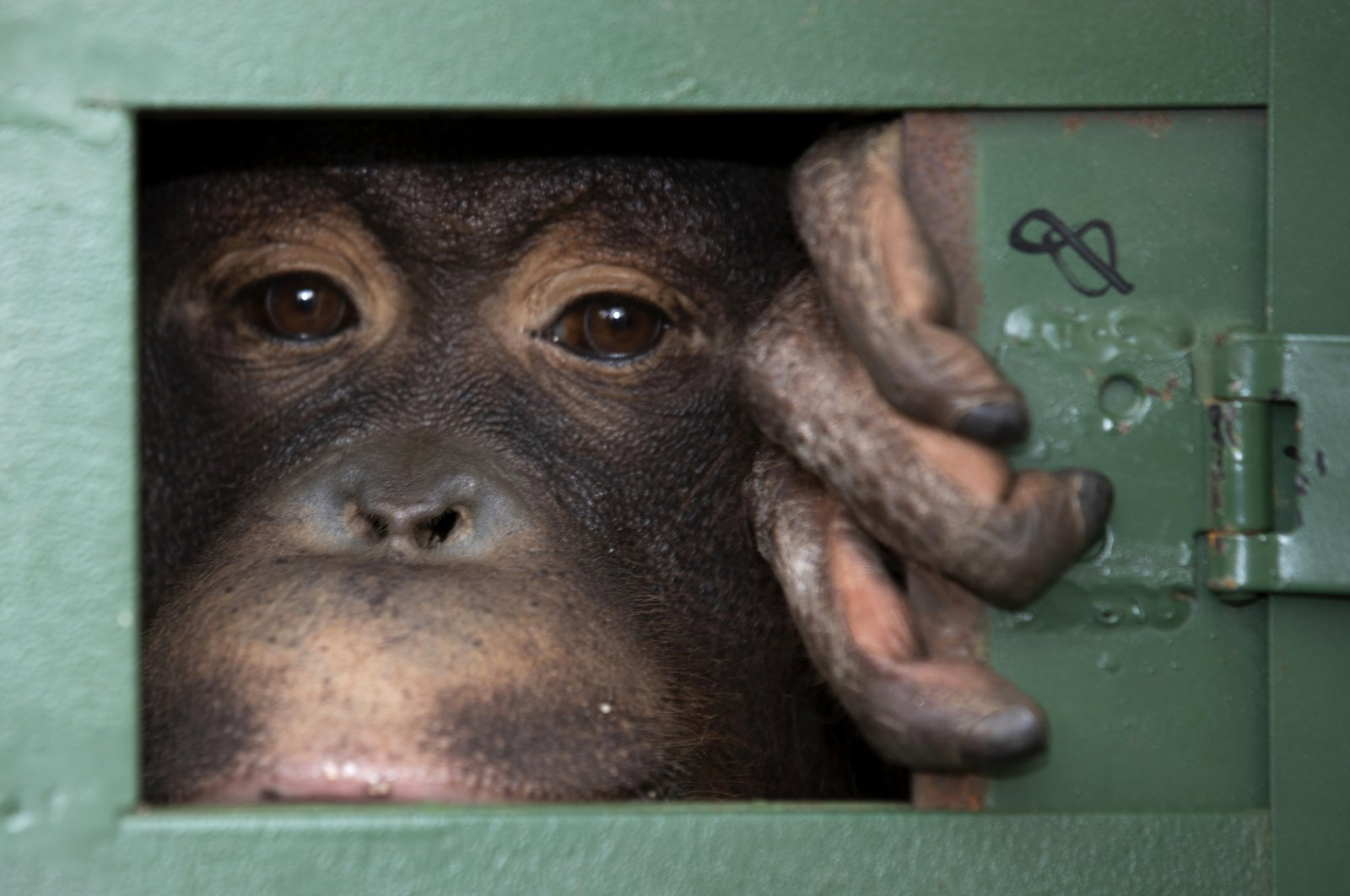 Cola, 10-year-old female orangutan, waits in a cage to be sent back to Indonesia at a Suvarnabhumi Airport in a collaborative effort to combat the illicit wildlife trade in Bangkok, Thailand, Dec. 20, 2019. (AP Photo)