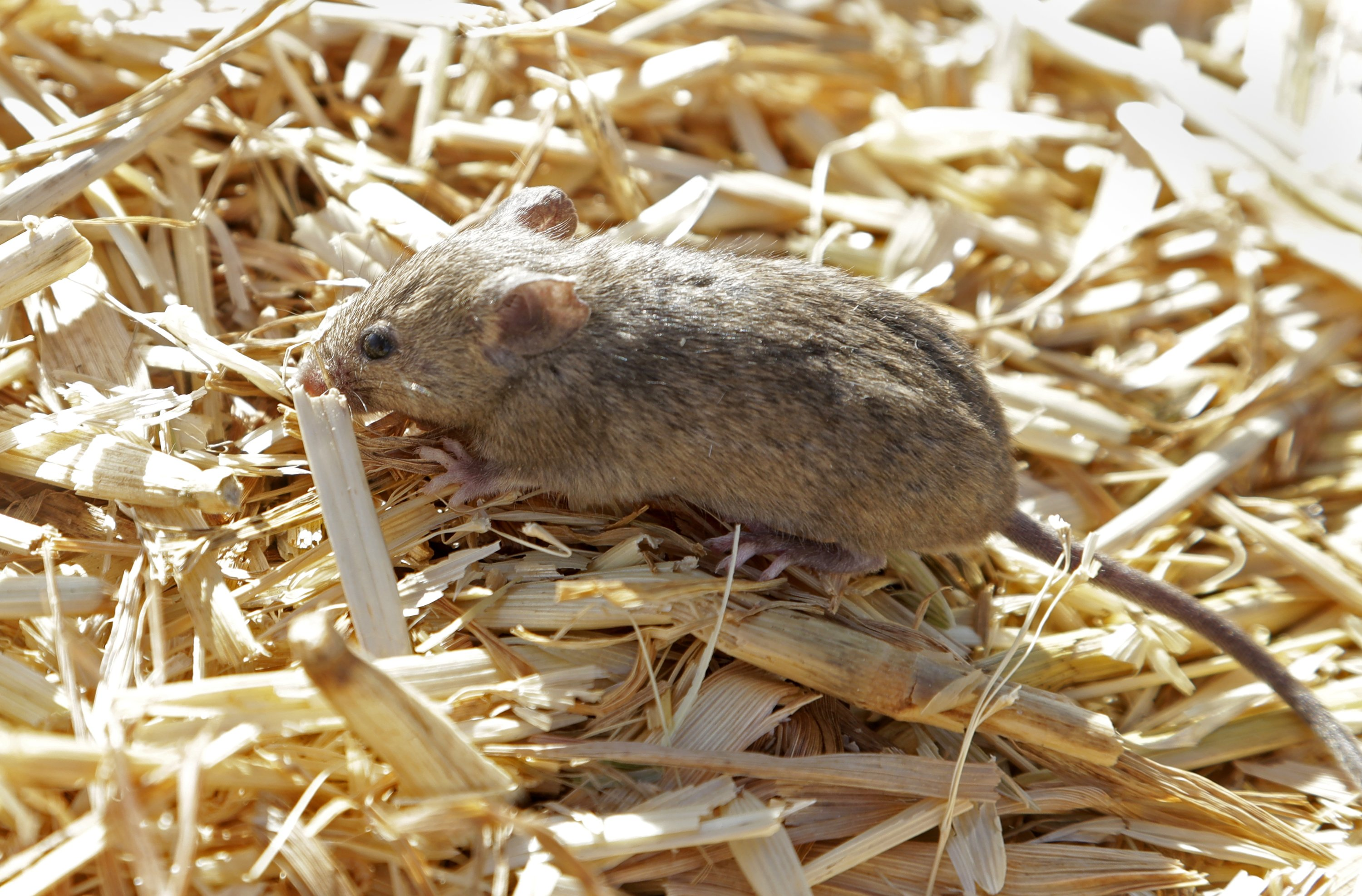 A mouse sits on top of hay stored by Bruce Barnes at his family's farm near Bogan Gate, Australia, May 20, 2021. (AP Photo)