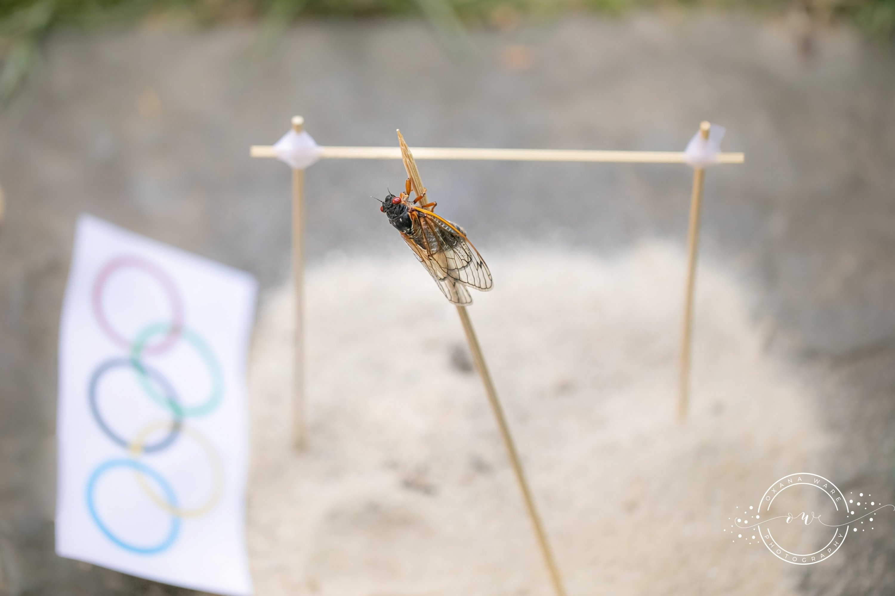 Cicadas are posed in an Olympic pole vaulting scene by Virginia photographer and cicada enthusiast Oxana Ware in Arlington, Virginia, U.S., in this May, 2021 handout photo. (REUTERS Photo)