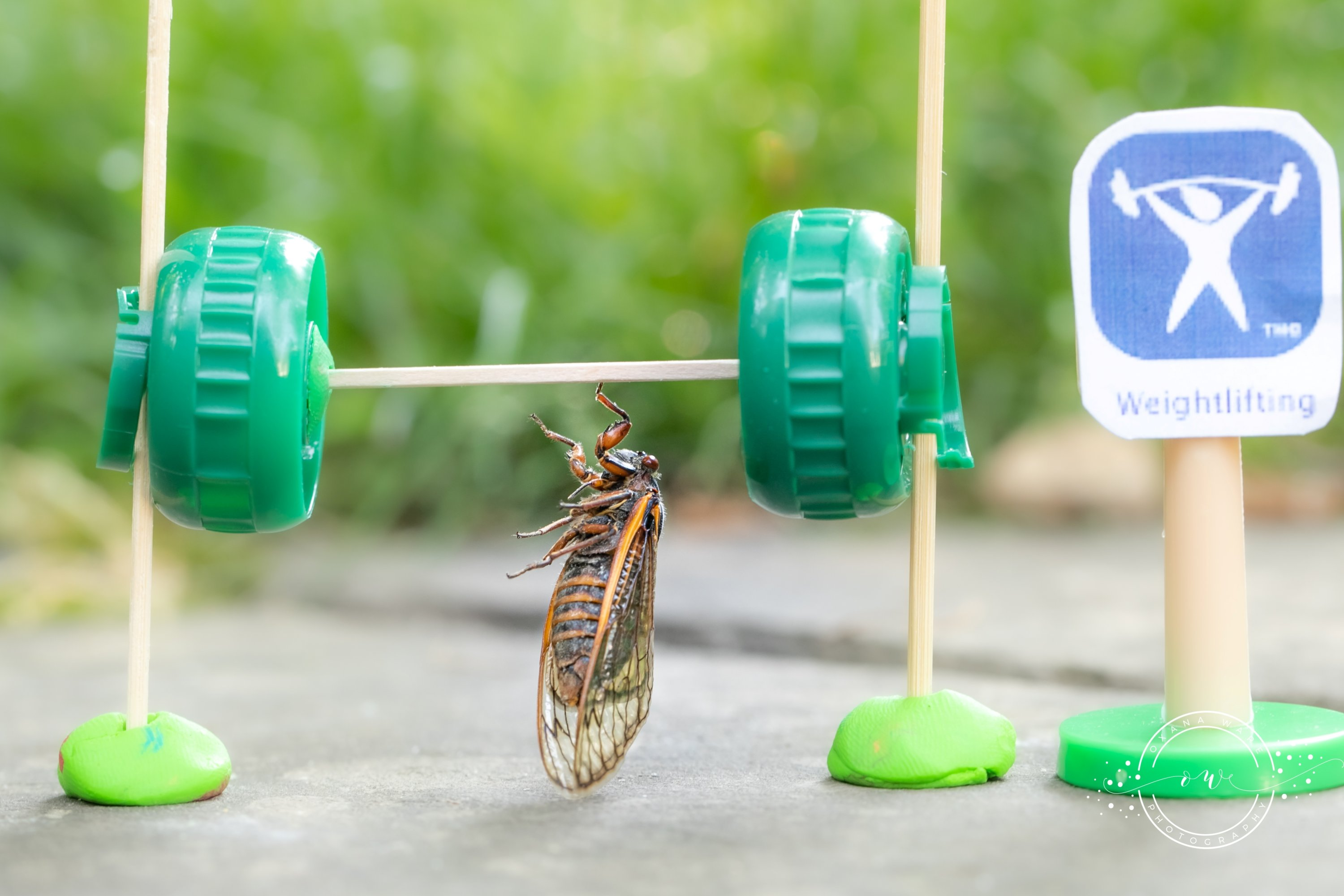 Cicadas are posed in an Olympic weightlifting scene by Virginia photographer and cicada enthusiast Oxana Ware in Arlington, Virginia, U.S., in this May, 2021 handout photo.  (REUTERS Photo)