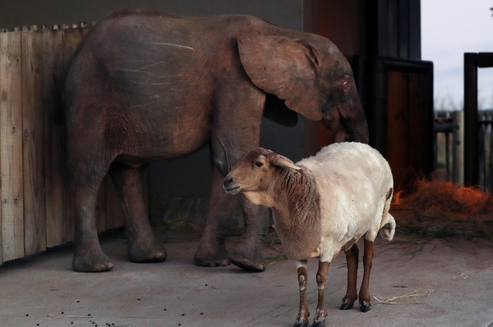 Khanyisa, an albino elephant calf rescued after being caught in a poaching snare, is seen with Lammie, her companion sheep and surrogate mother, at Hoedspruit Elephant Rehabilitation and Development (HERD) sanctuary, near Hoedspruit, South Africa, May 23, 2021. (Reuters Photo)
