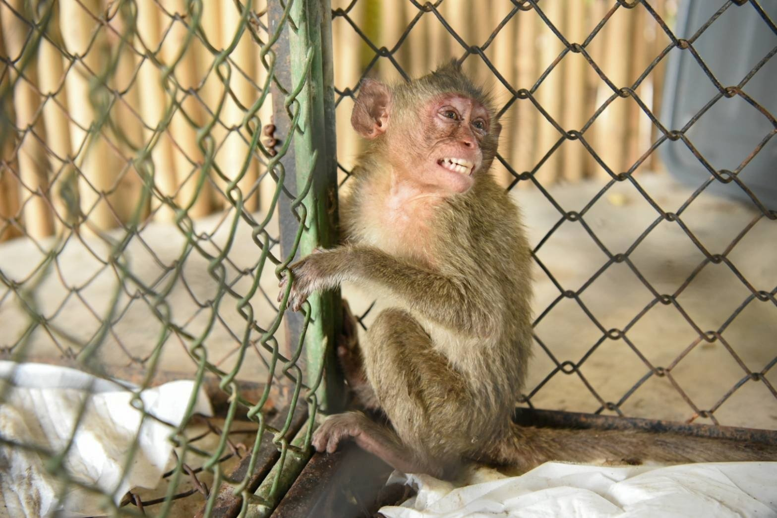 One of the wild monkeys rescued from a truck during a smuggling attempt sits in a cage at the animal field hospital in Nakhon Nayok, Thailand, May 28, 2021. (Thai Department of Natural Parks, Wildlife and Plant Conservation/Handout via REUTERS)