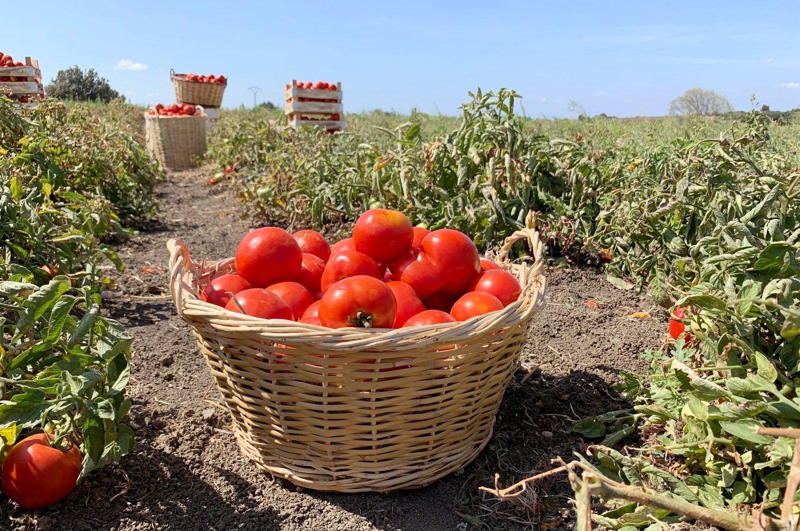 A tomato basket sits in a tomato field in Lapseki, Çanakkale, northwestern Turkey. (Shutterstock Photo)