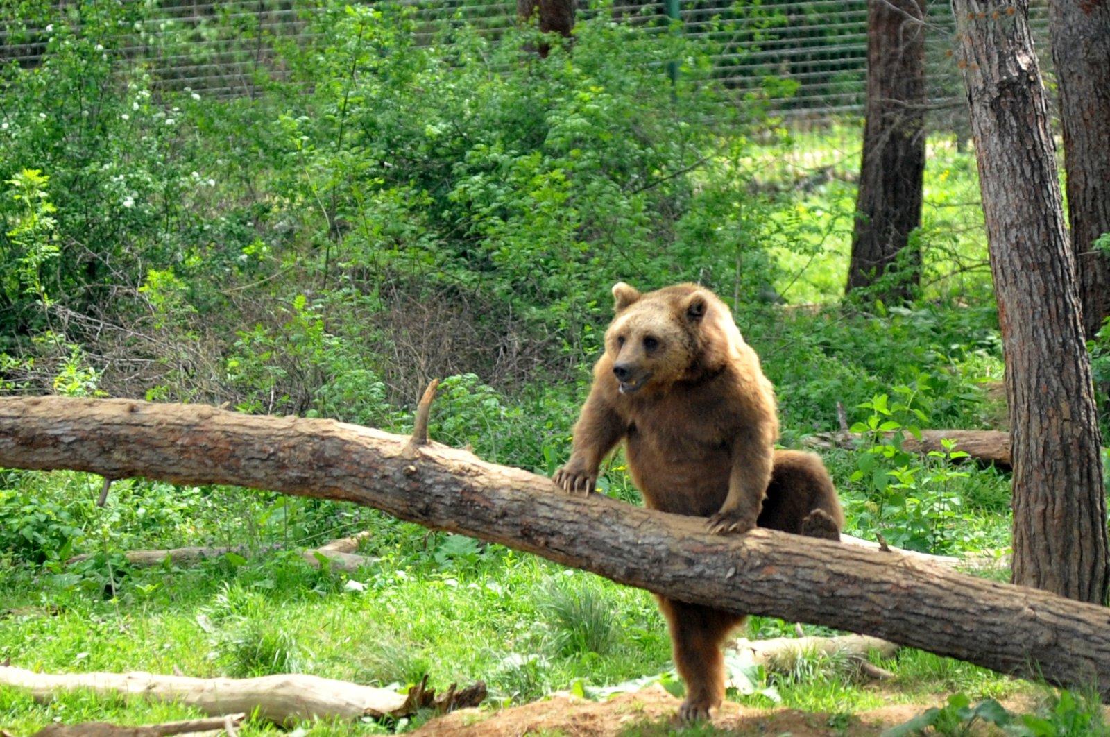A bear climbs up a timber at a shelter for wild animals in Bursa, northwestern Turkey, Jun. 1, 2021. (DHA PHOTO)