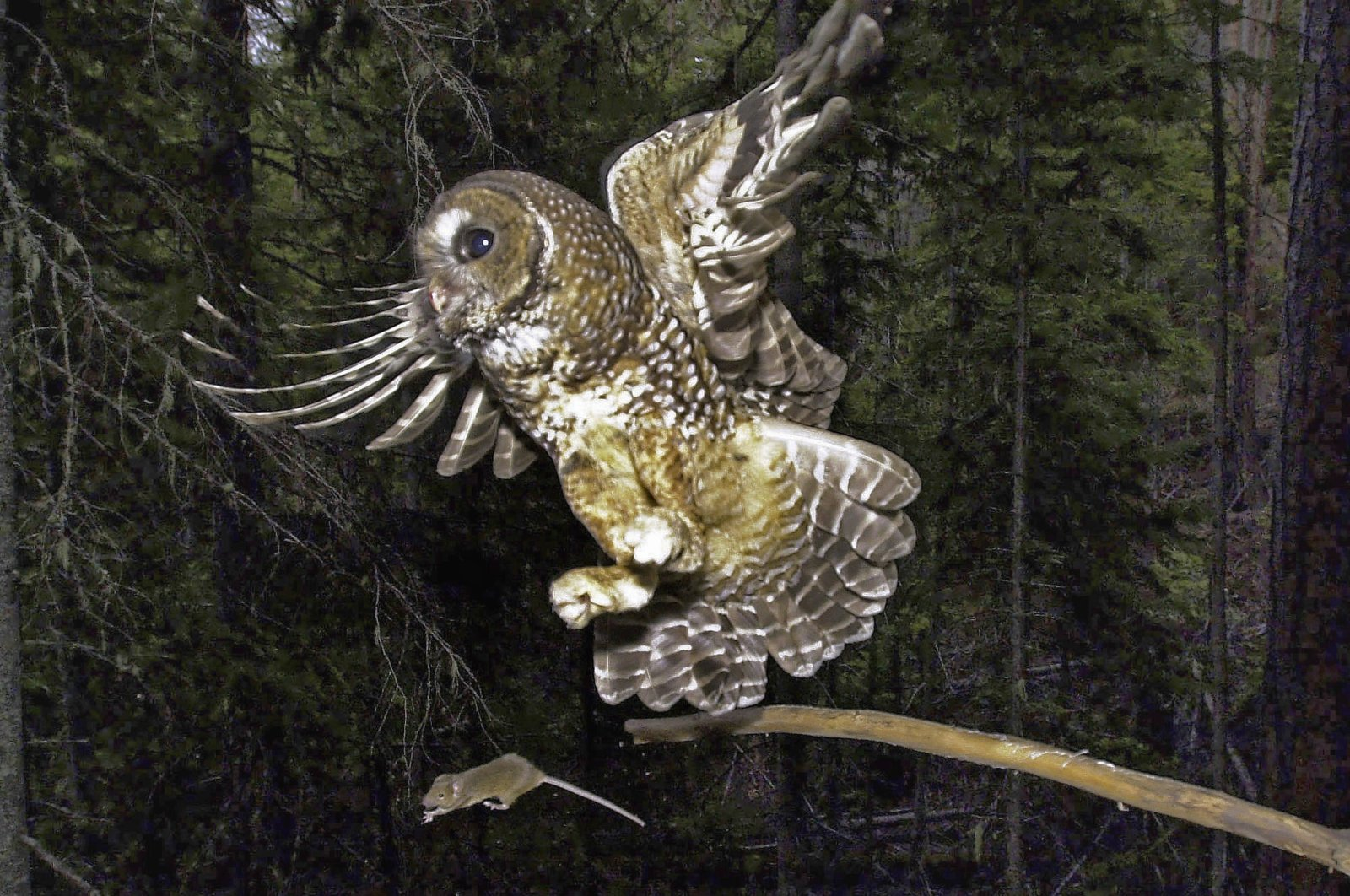 In this file photo, a northern spotted owl flies after an elusive mouse jumping off the end of a stick in the Deschutes National Forest near Camp Sherman, Ore. U.S., May 8, 2003. (Don Ryan via AP Photo)