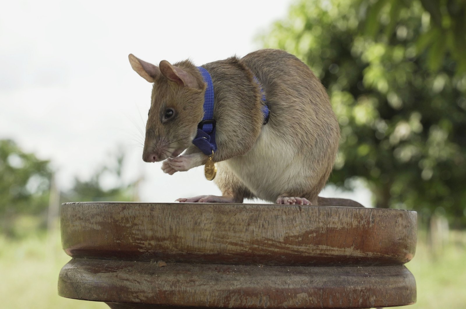 This undated file photo provided by the People's Dispensary for Sick Animals (PDSA) shows Cambodian land mine detection rat, Magawa, wearing his PDSA Gold Medal, the animal equivalent of the George Cross, in Siem, Cambodia. (PDSA via AP)