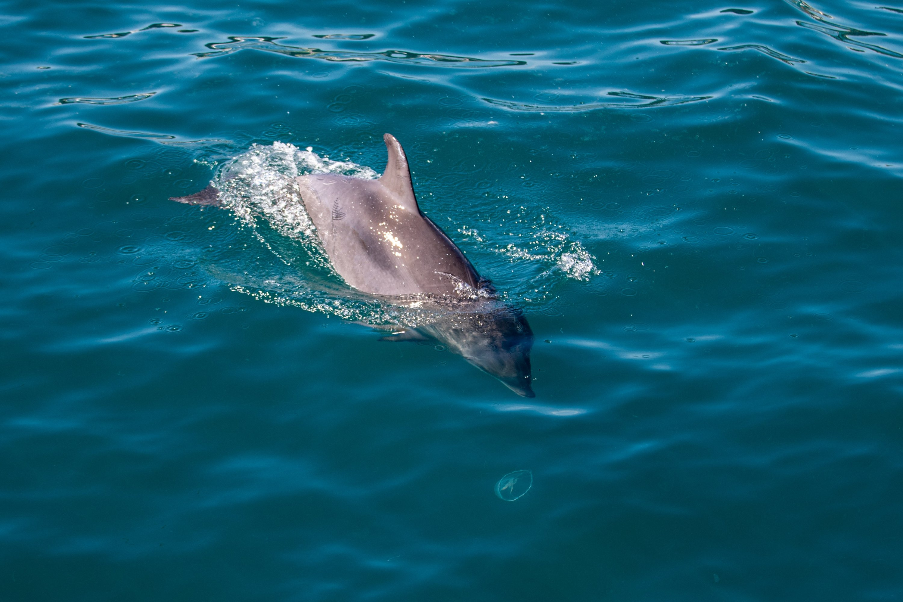 A dolphin seen swimming in Marmara see Istanbul, Turkey, May 19, 2021. (Getty Images)