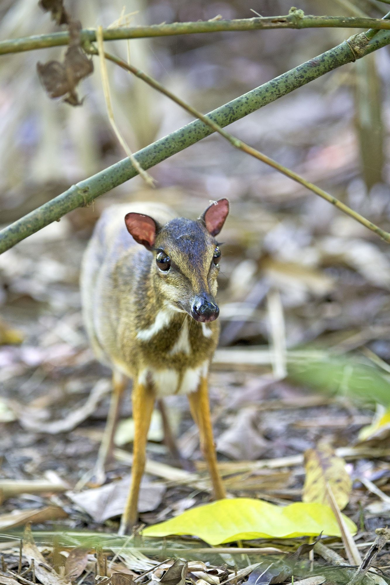 A Chevrotain is seen in the undergrowth in Malaysia. (Getty Images)