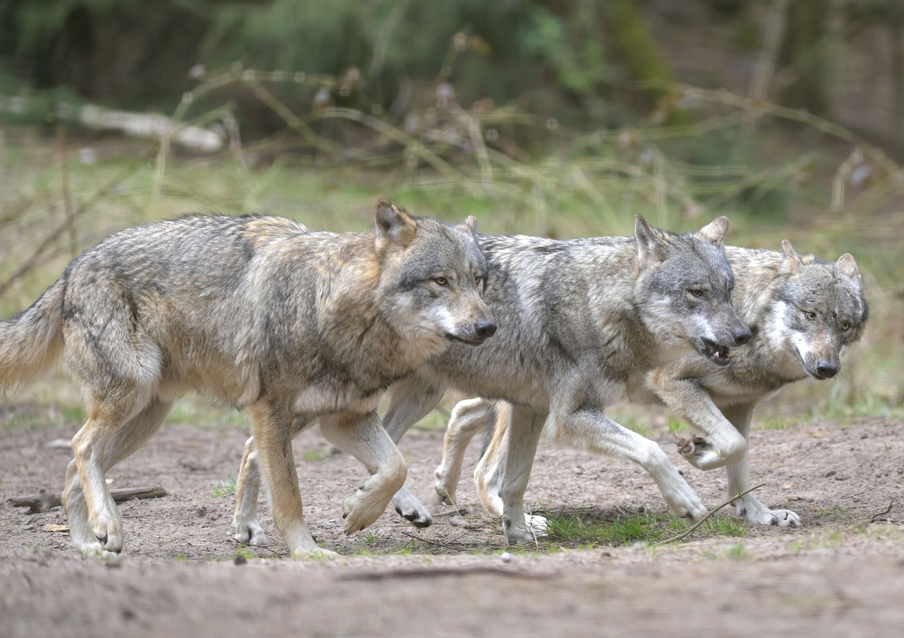 Wolves run through the enclosure in the Schorfheide Wildlife Park, Germany, April 21, 2021. (Getty Images)