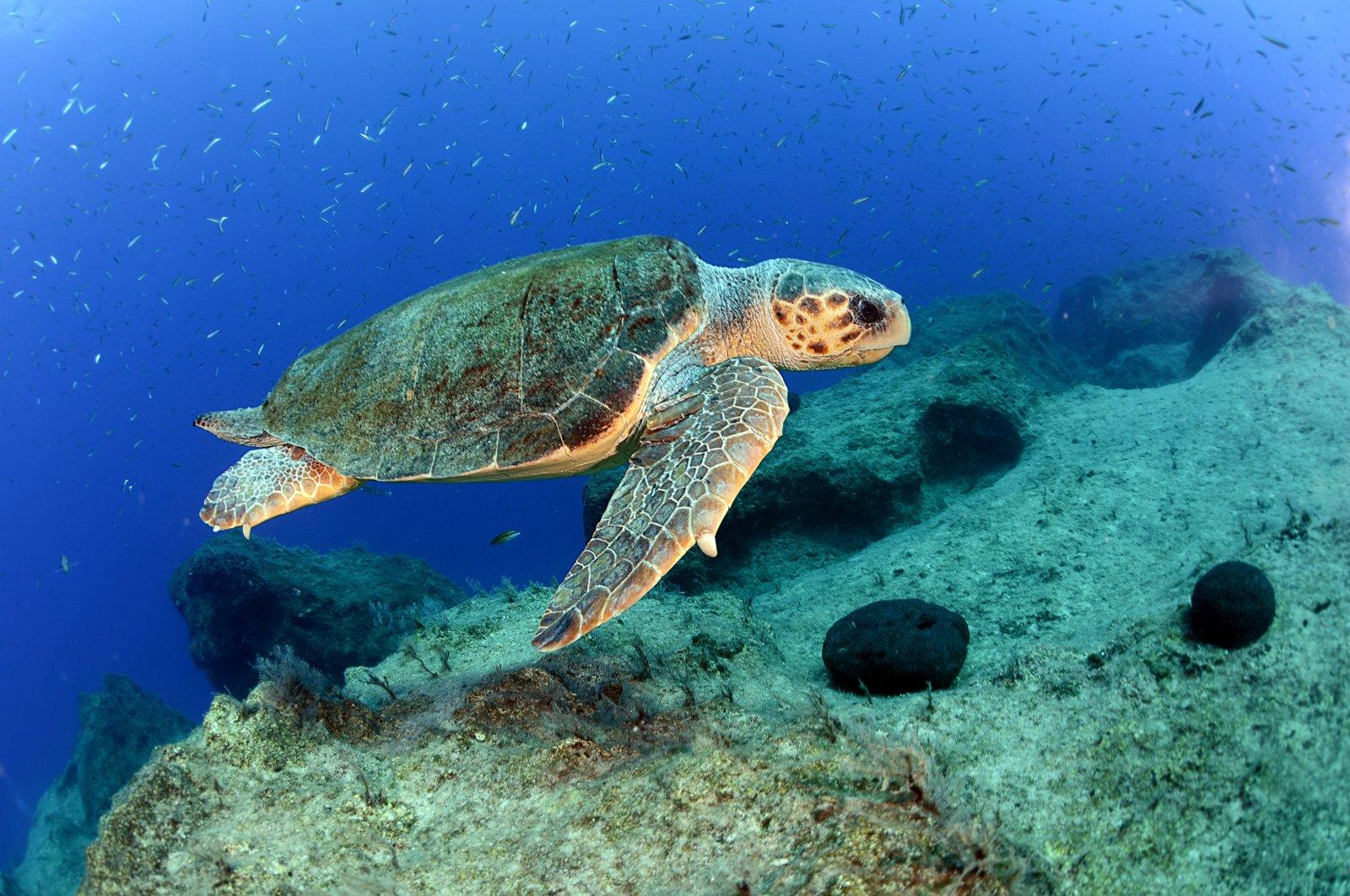 A loggerhead sea turtle swims off the coast of Antalya, southern Turkey, June 6, 2021. (DHA PHOTO)