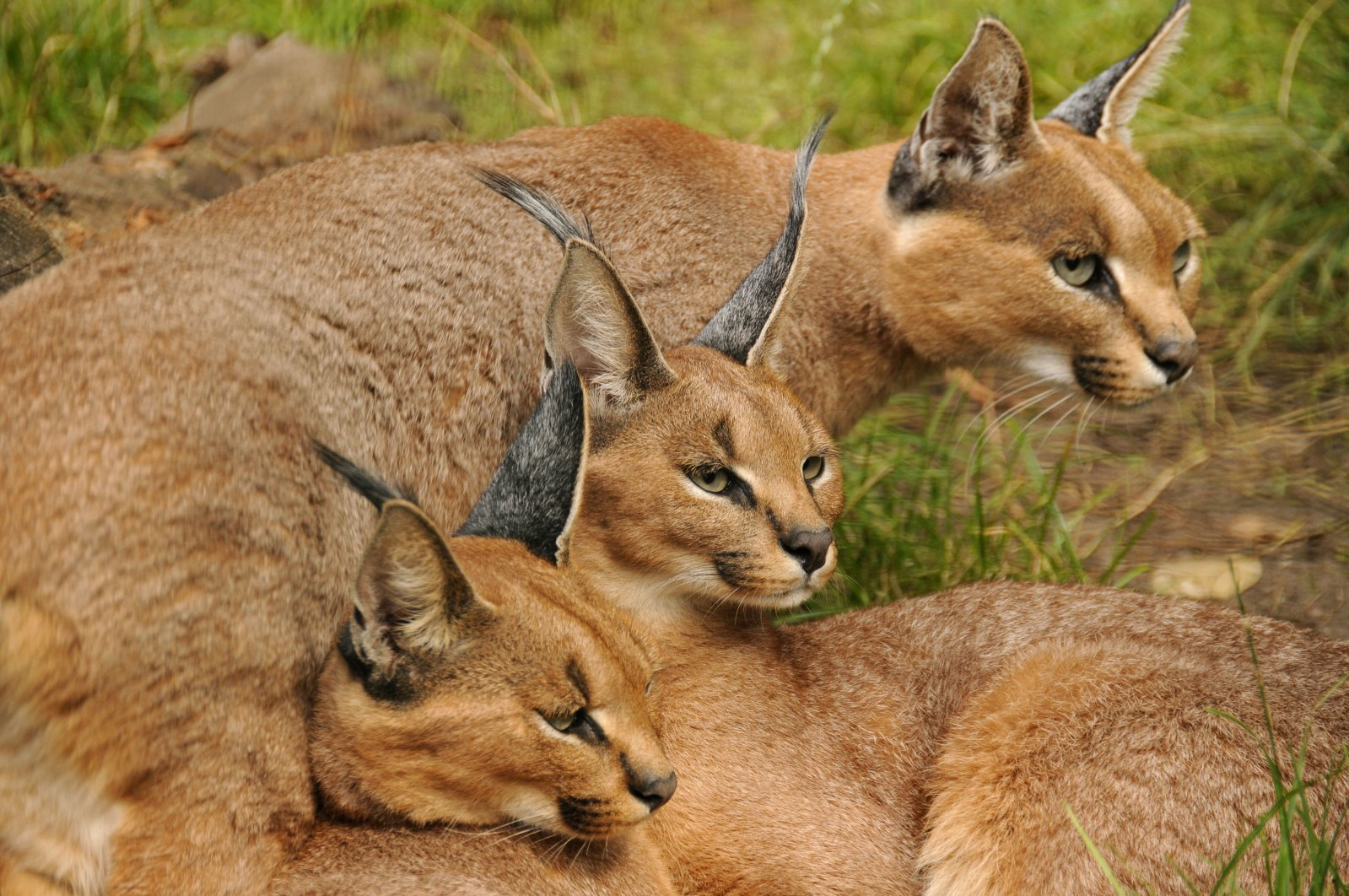Three caracals in Lichtenberg Zoo, Berlin, Germany. (Getty Images)