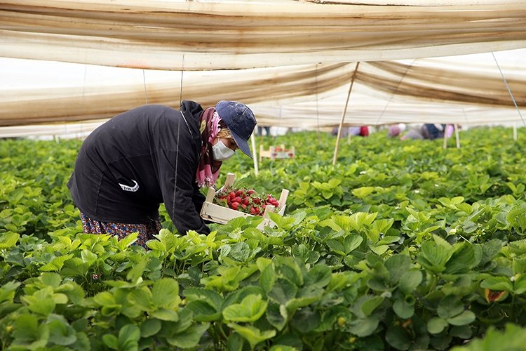 Women workers pick strawberries at a greenhouse in Aydın, western Turkey, May 1, 2021. (AA PHOTO)