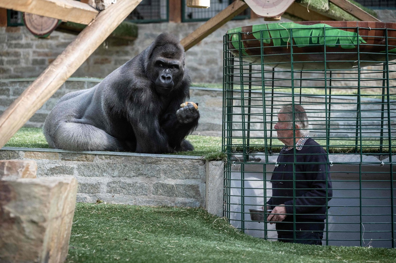 This file photo shows the owner of the zoo Pierre Thivillon takes care of a gorilla on May 17, 2021, at the zoological park of Saint-Martin-la-Plaine, two days ahead of its reopening as part of France's latest step toward the ending of its third nationwide COVID-19 lockdown. (AFP Photo)