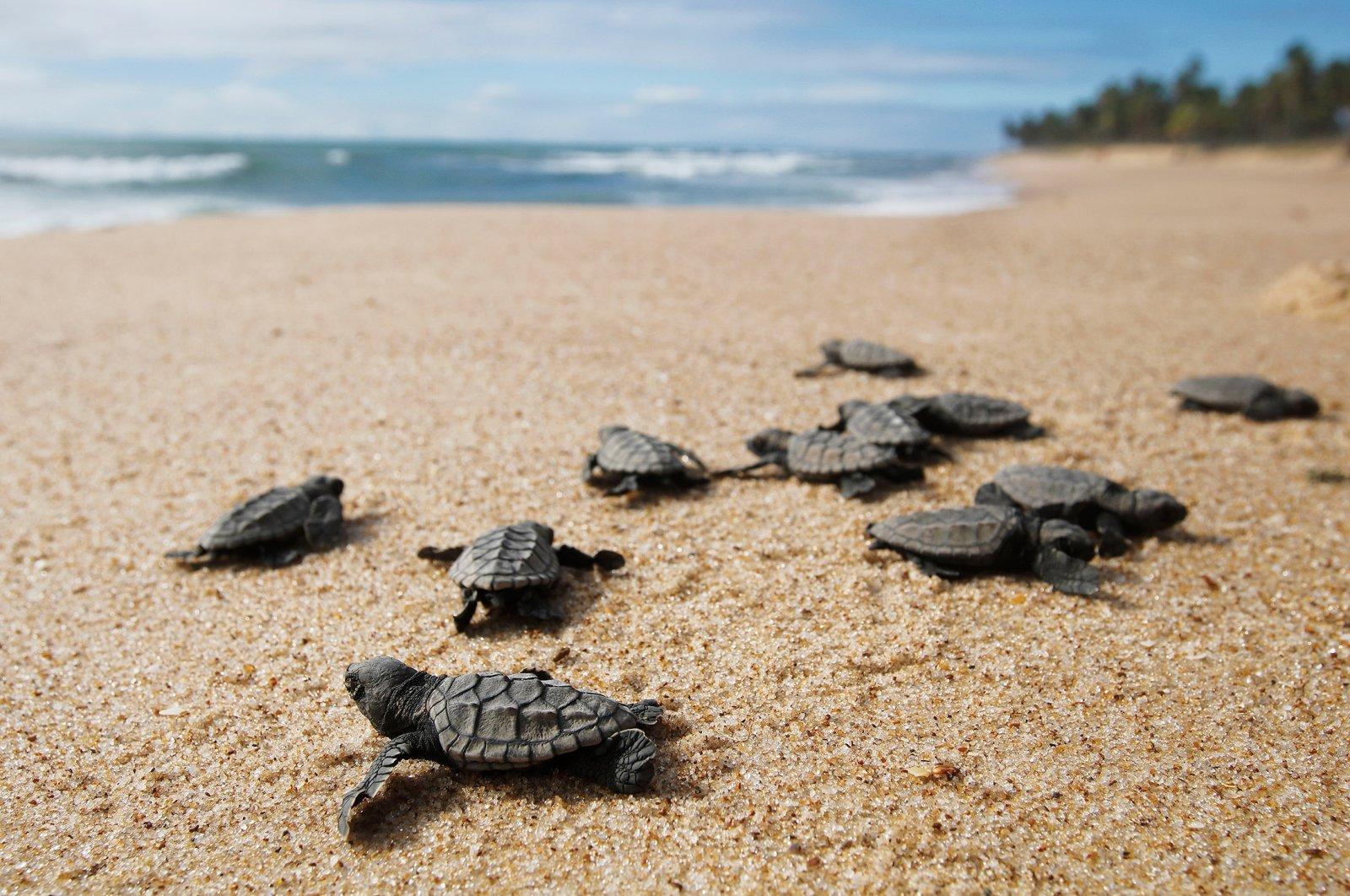 Turtles nest in dozens of beaches along Turkey's southern coast. (Shutterstock Photo)