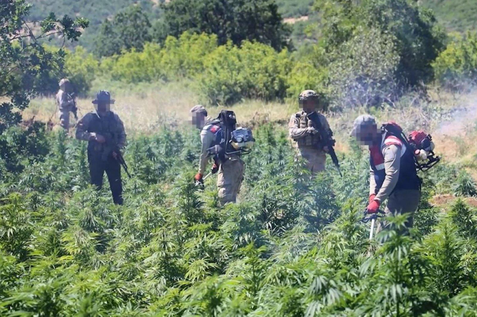 Soldiers destroy the seized cannabis plants, in Diyarbakır, southeastern Turkey, Jun. 8, 2021. (DHA PHOTO)