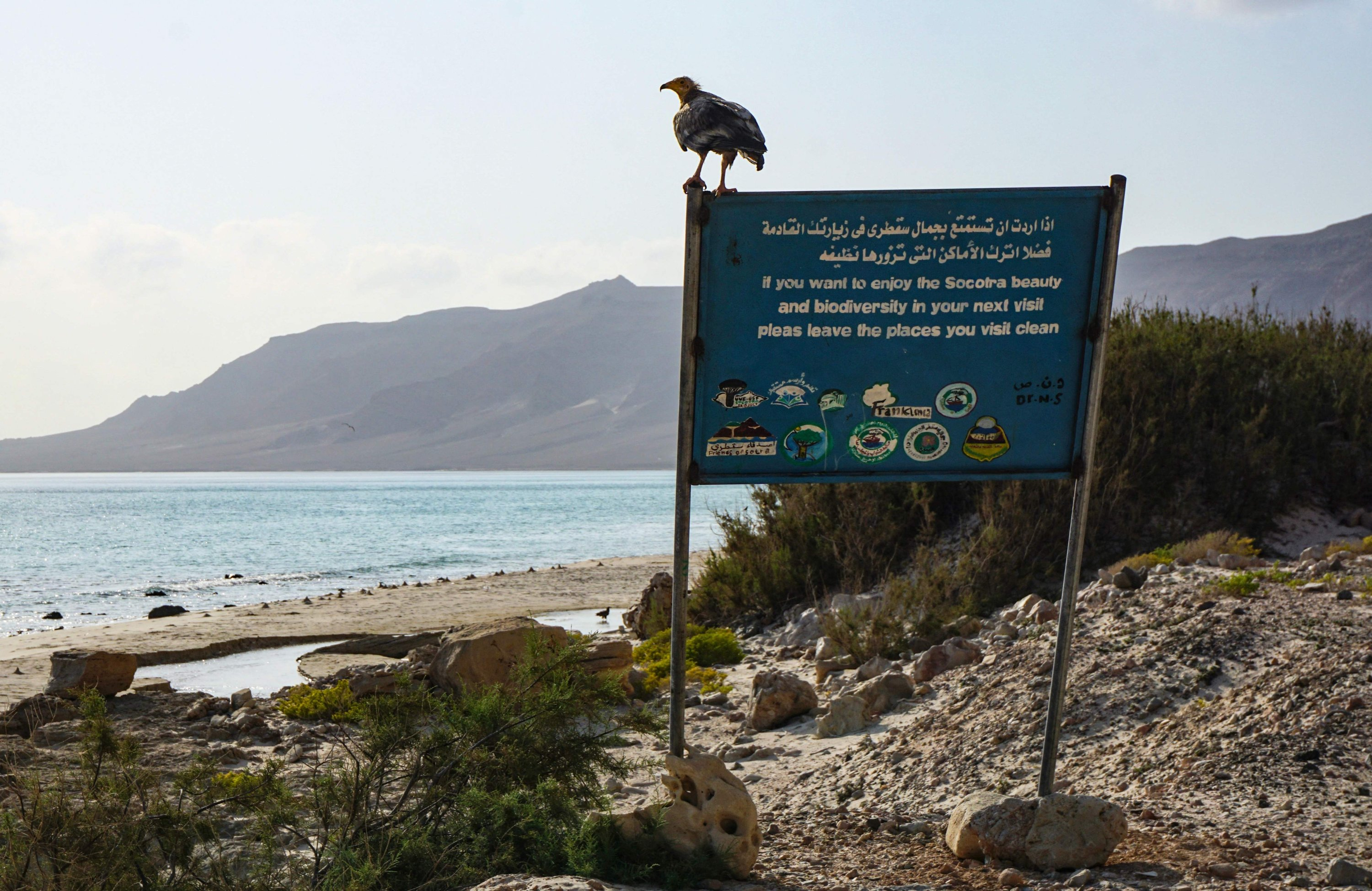 An Egyptian Vulture, an endangered bird, sits on a sign promoting the importance of the protection of nature at Aher in the northeast of the Yemeni island of Socotra, April 13, 2021. (AFP Photo)