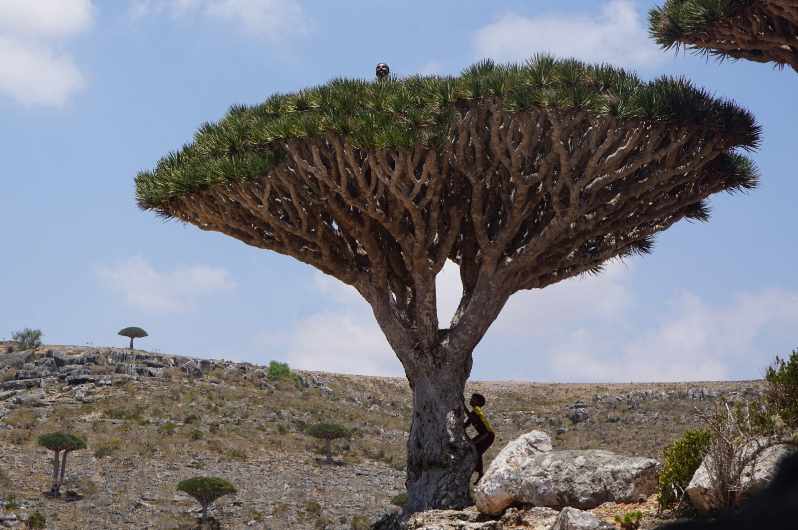 Children climb a dragon's blood tree on the Diksam Plateau in the center of the Yemeni island of Socotra, April 16, 2021. (AFP Photo)