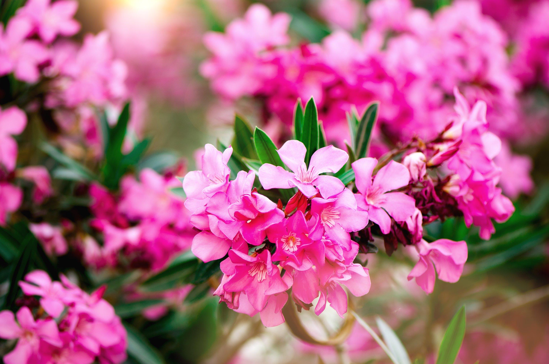 Pink oleander flowers, or nerium, in bloom. (Shutterstock photo)