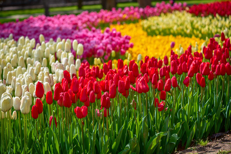 Colorful tulips at Emirgan Park, Istanbul, Turkey. (Shutterstock Photo)