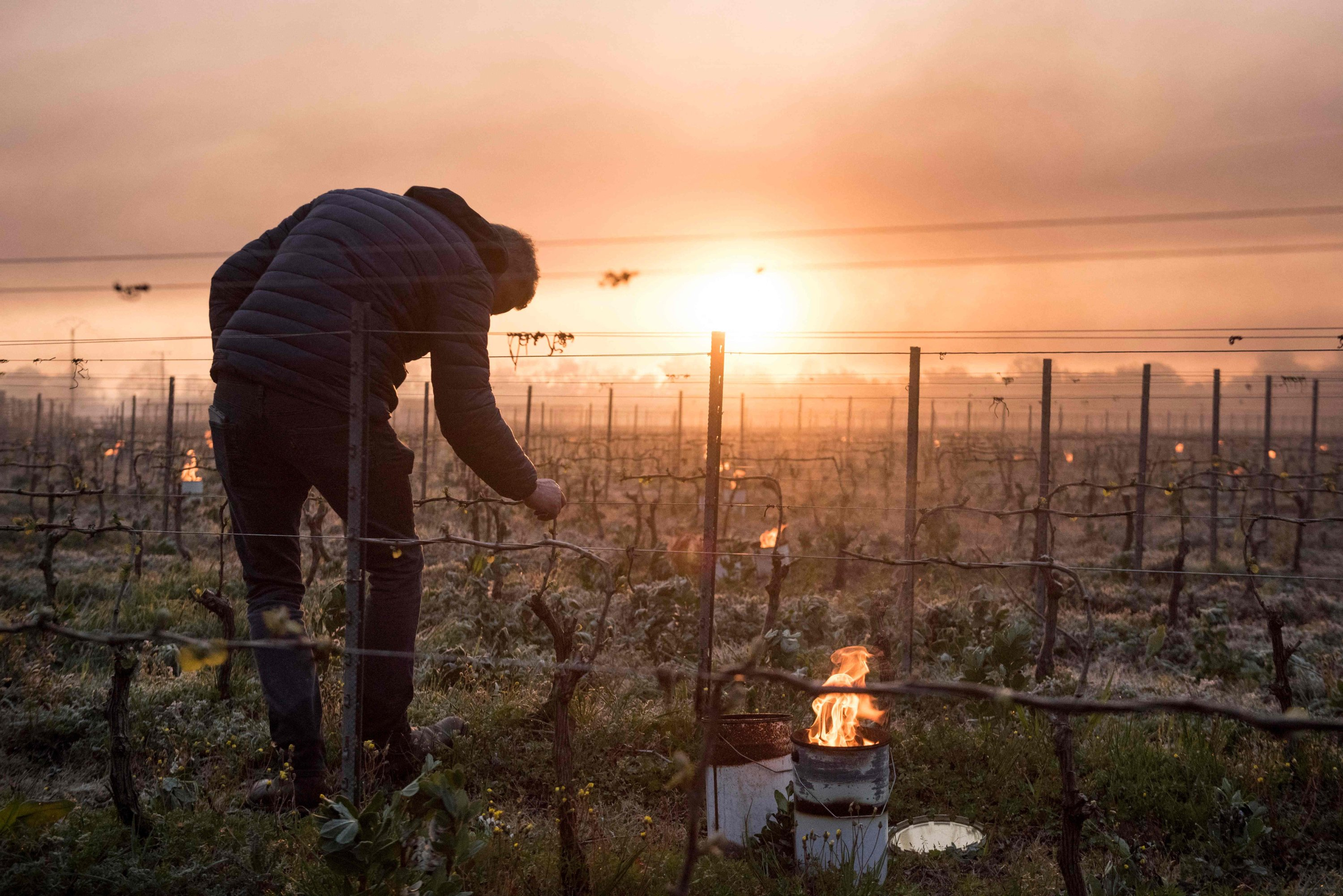 A man checks vine buds during the burning of anti-frost candles in the Luneau-Papin wine vineyard in Le Landreau, near Nantes, western France,April 12, 2021. (AFP Photo)