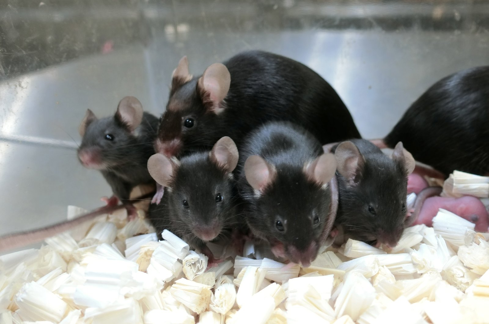 Healthy mice produced from sperm cells that were freeze-dried, stored in a sealed capsule and preserved on the orbiting International Space Station are seen in a laboratory in Japan. (University of Yamanashi via Reuters)