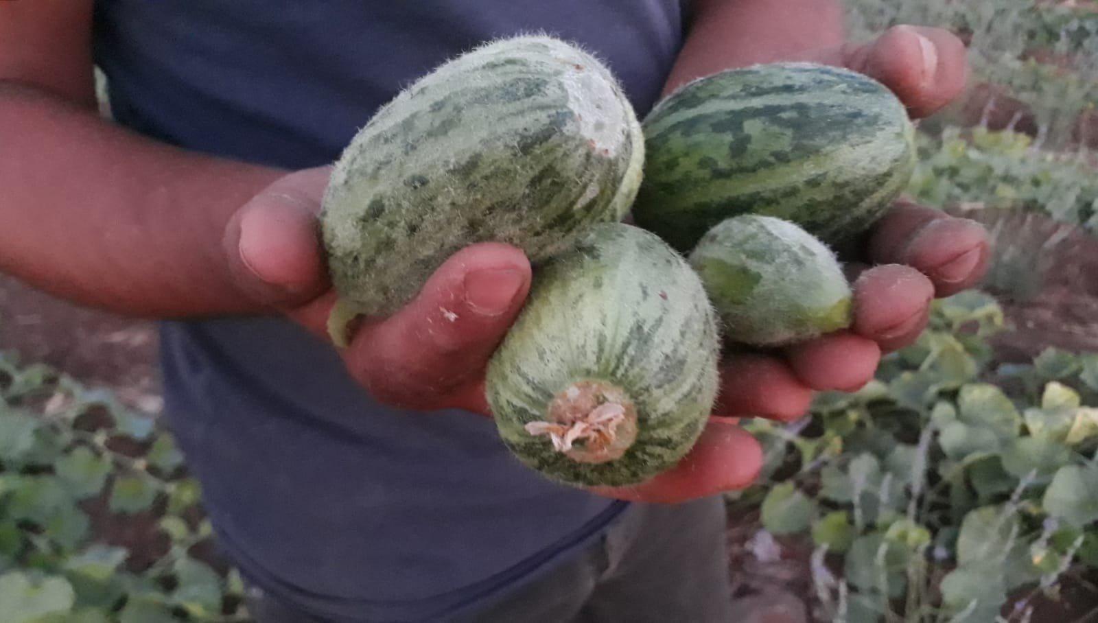 A man holds the fruit of the şelengo plant, a member of the gourd family, in Şanlıurfa, Turkey, June 14, 2021. (IHA Photo)