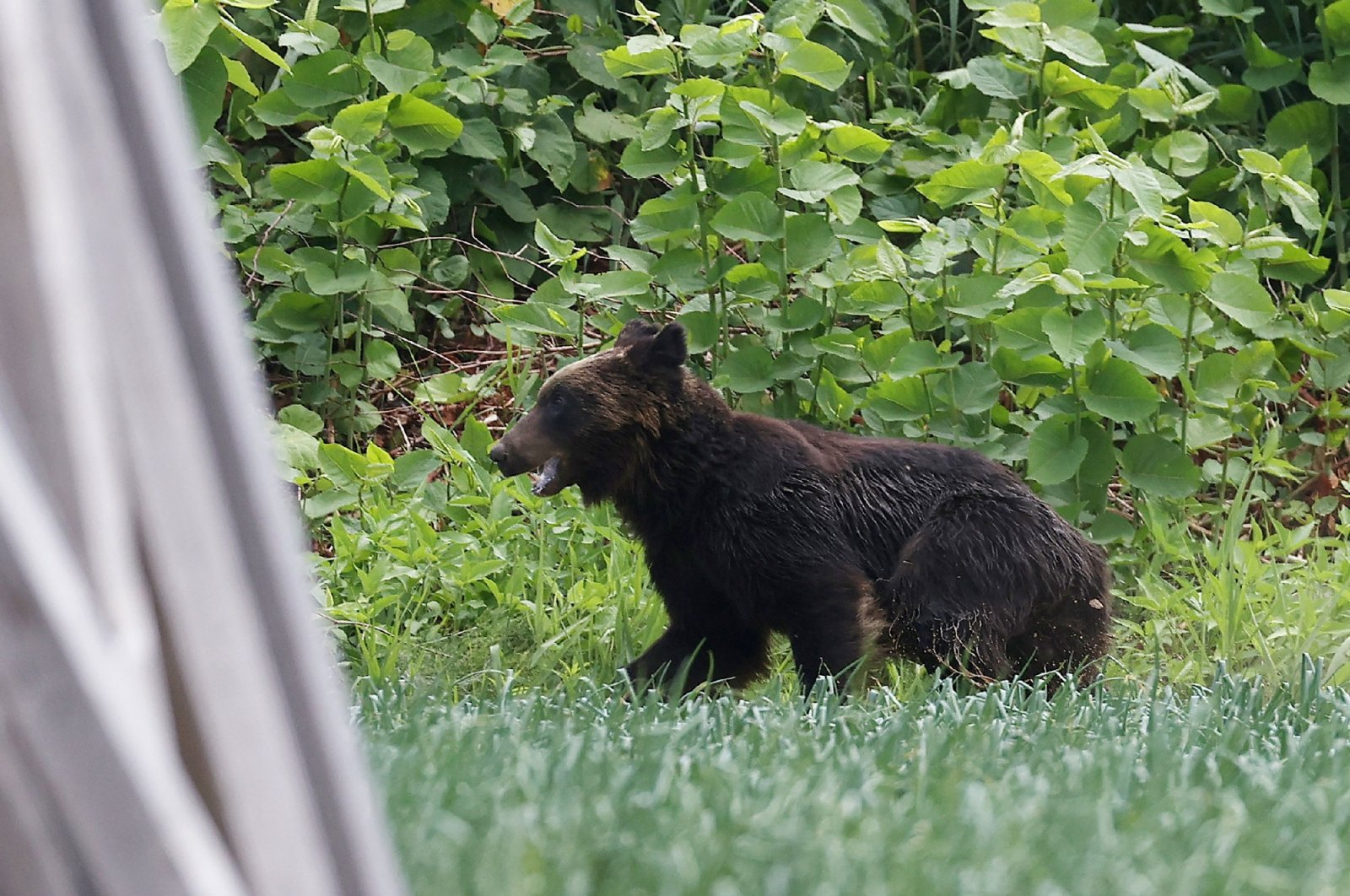 This picture shows a brown bear that is on the loose in Sapporo, Hokkaido prefecture, Japan, June 18, 2021. (Photo by STR/JIJI PRESS via AFP)