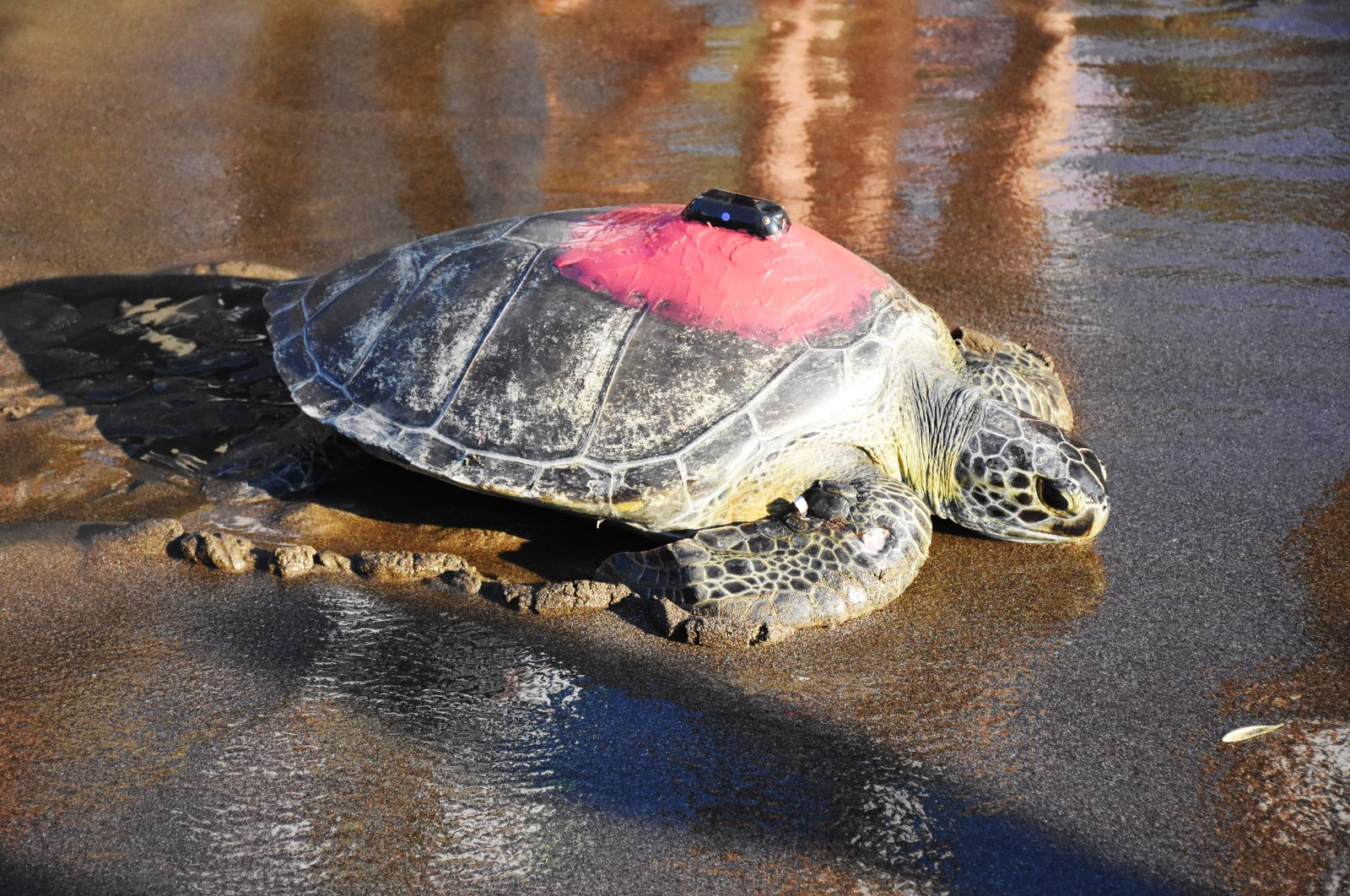 Talay, the green sea turtle, is lying on the beach in Muğla, southwestern Turkey, June 20, 2021. (AA Photo)